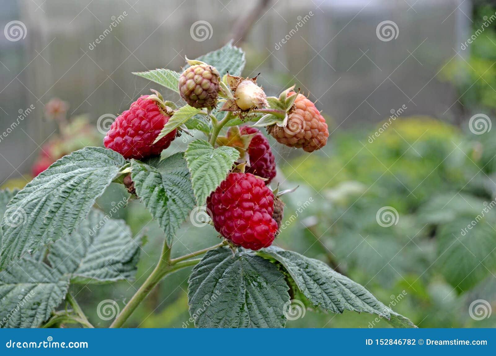 在分支的成熟莓 绿色灌木