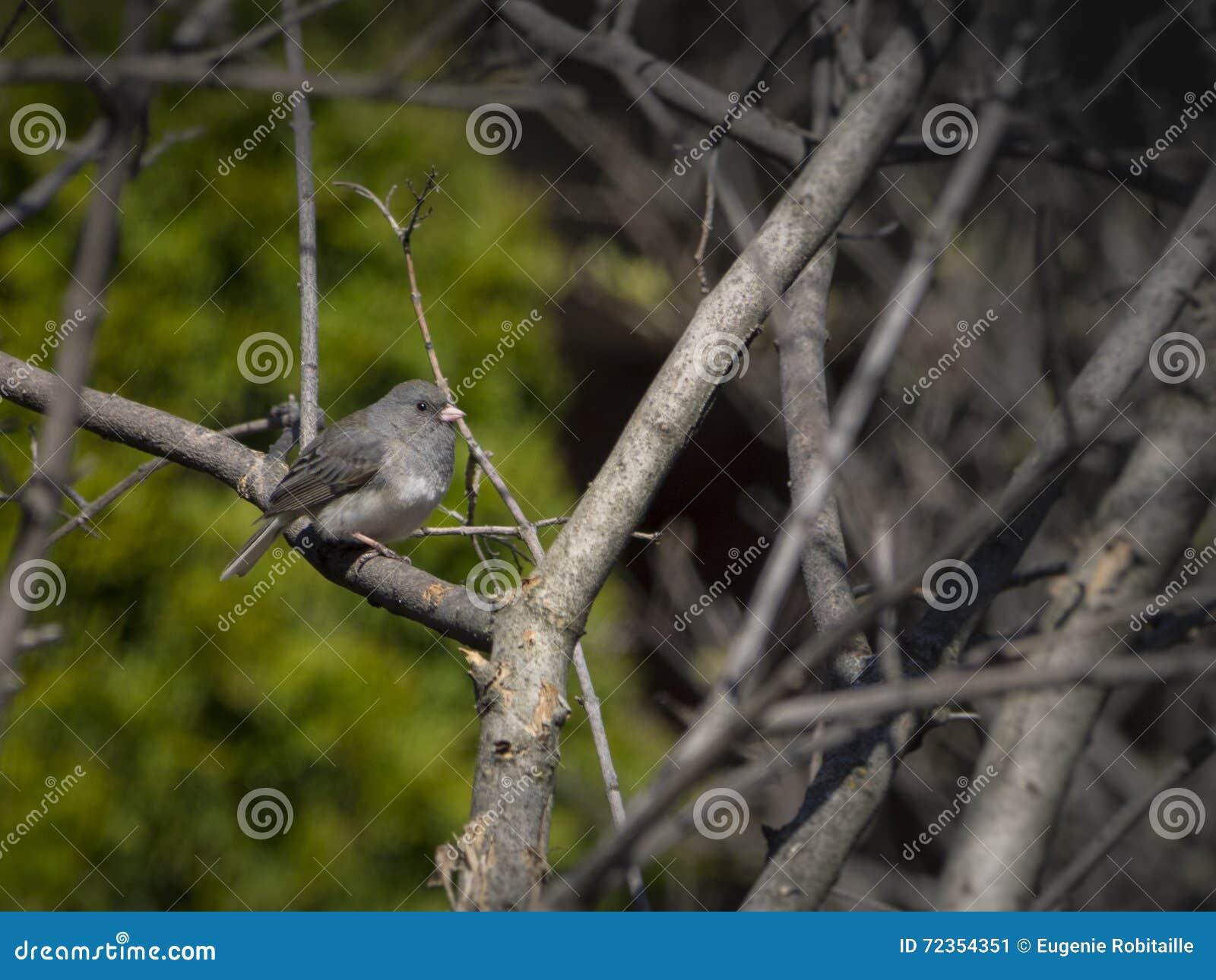 在分支的碛鸟