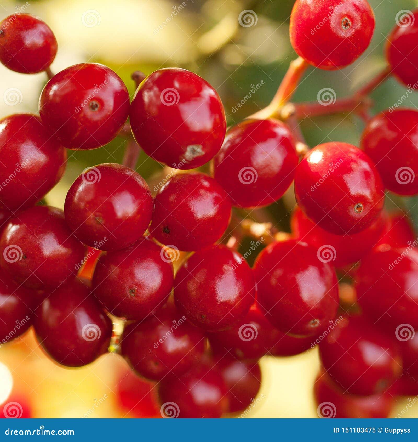 在分支的荚莲属的植物莓果