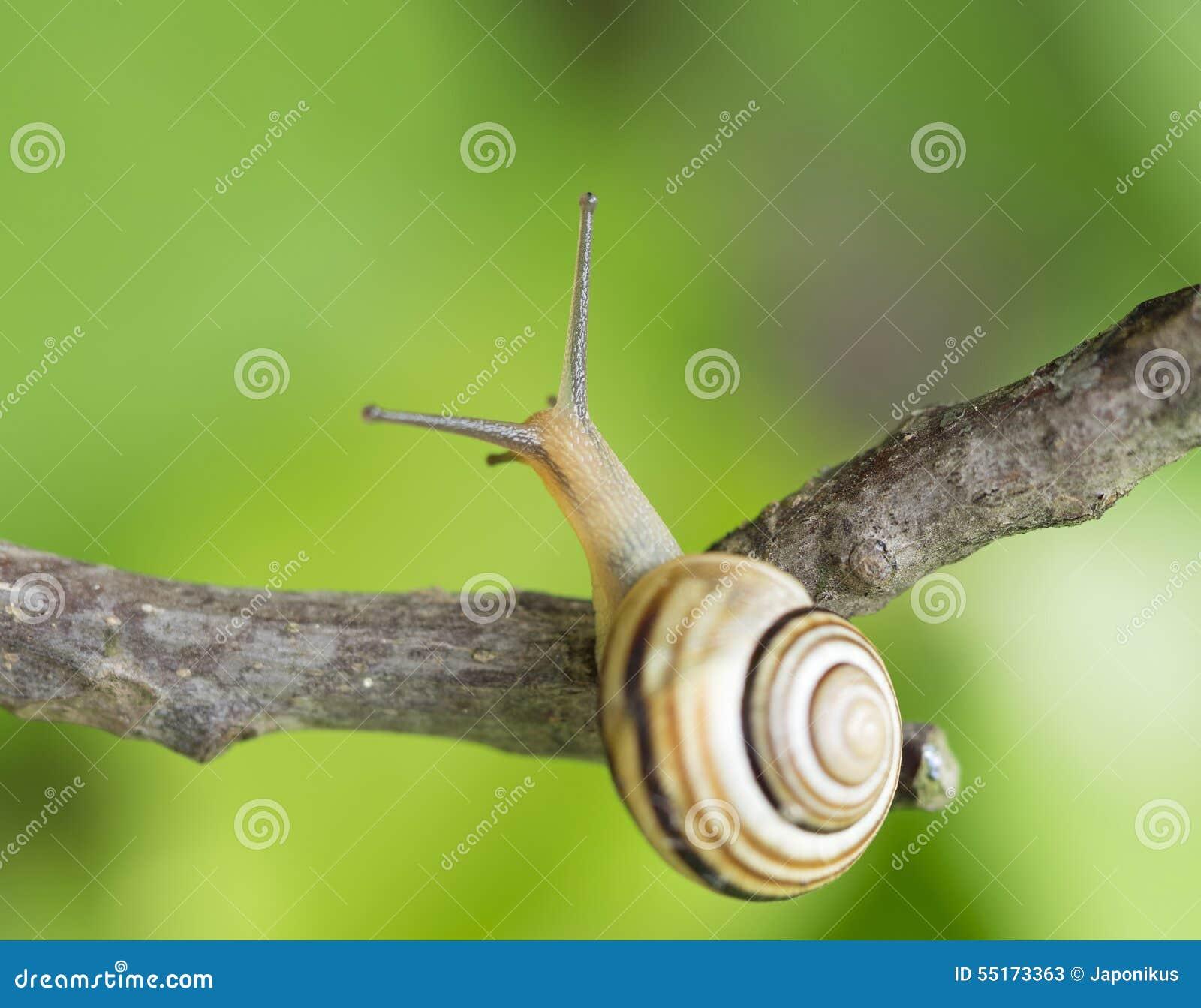 在分支的蜗牛