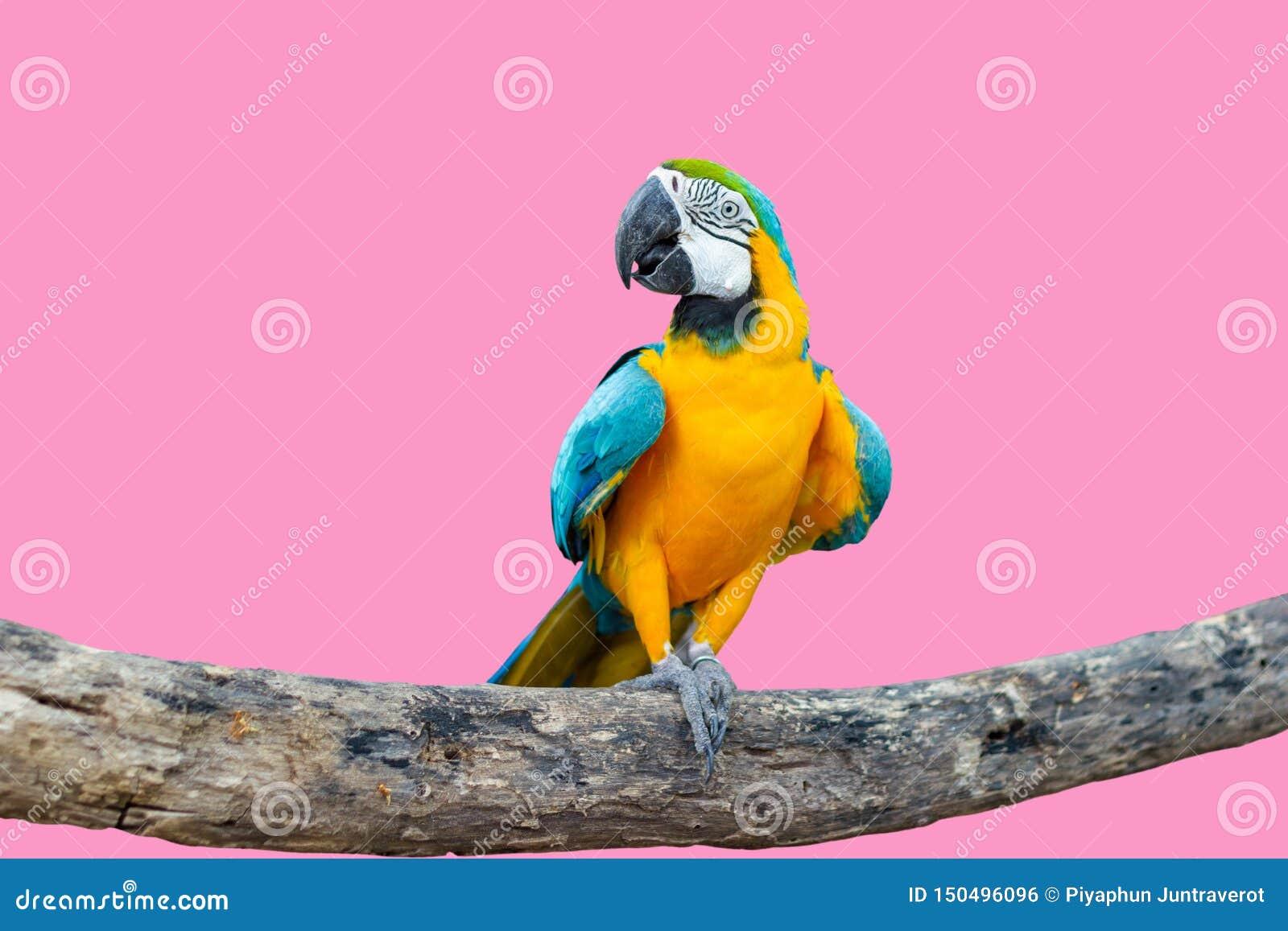 在分支的鸟青和黄色金刚鹦鹉身分
