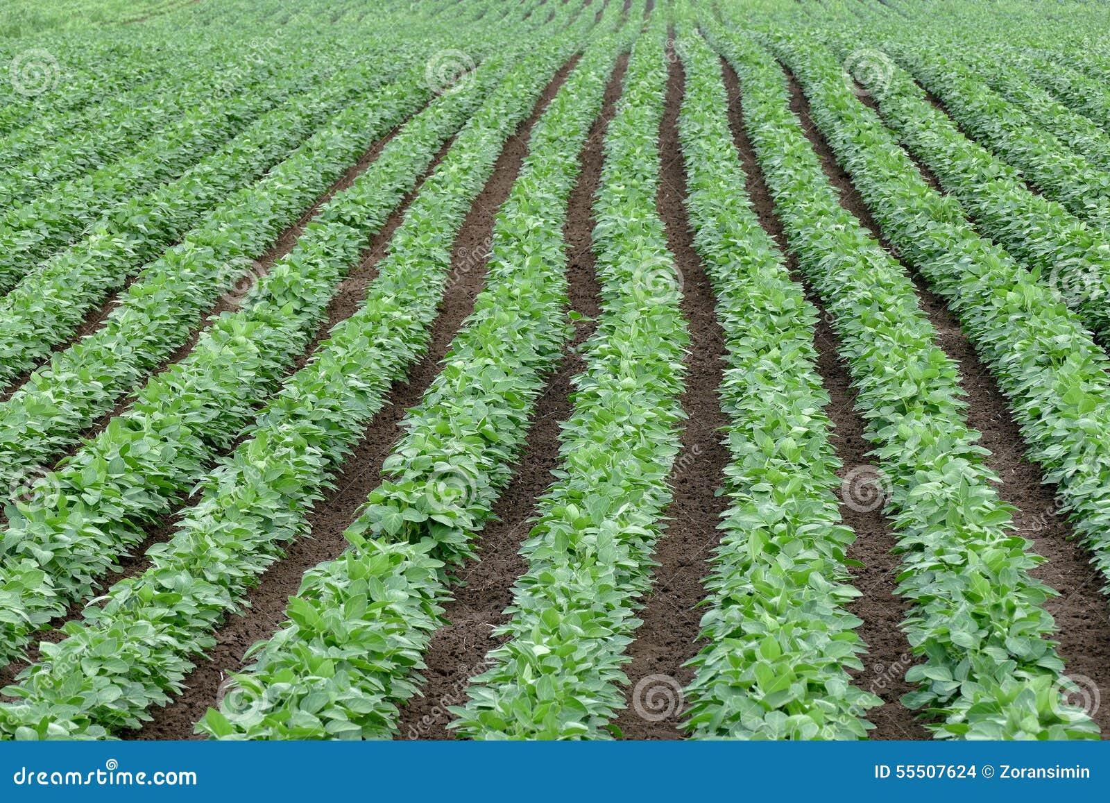 在初夏绿化培养的大豆豆领域