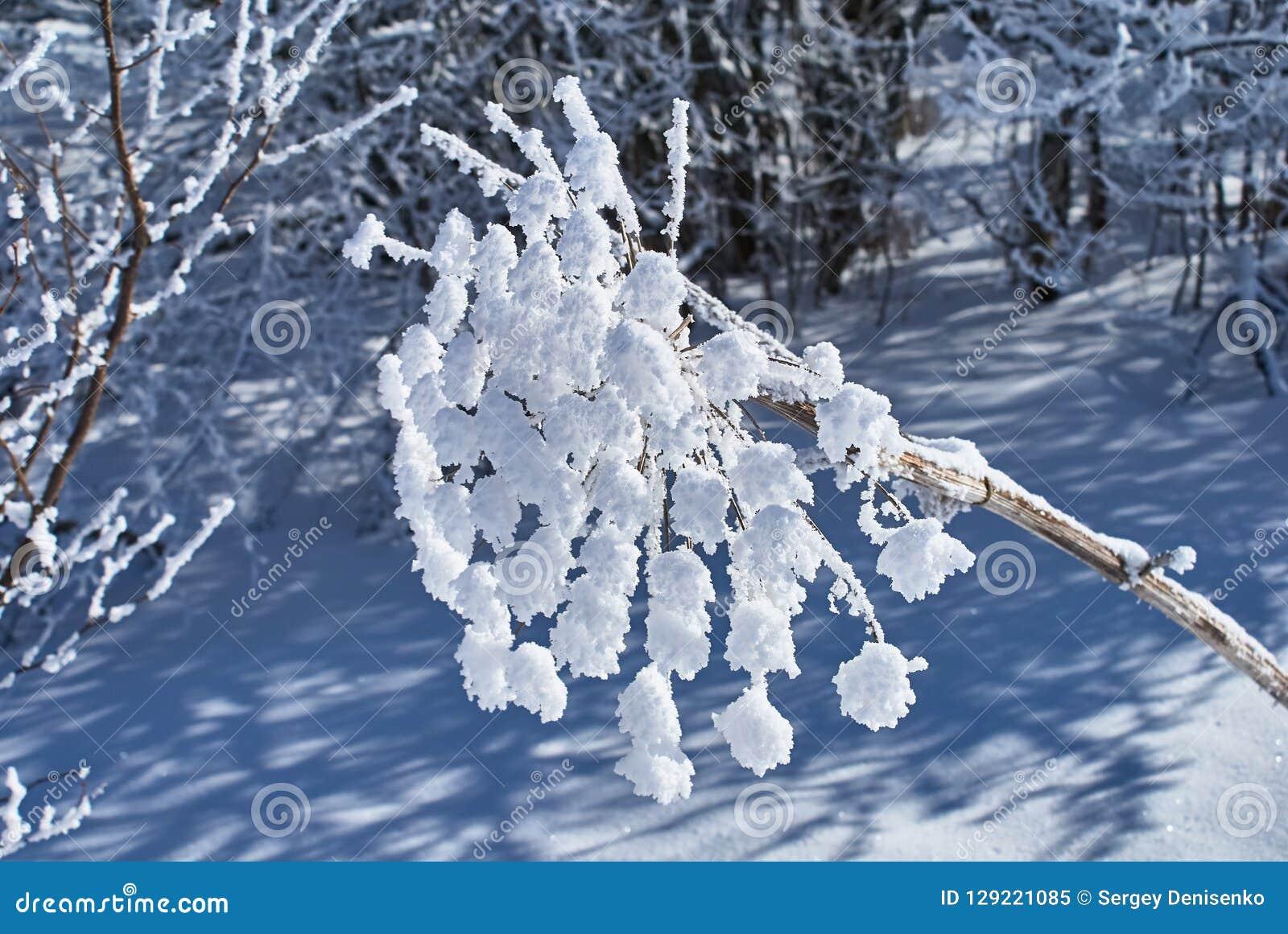 在前景的冬天森林积雪的干花 Lago-Naki,主要白种人里奇,俄罗斯