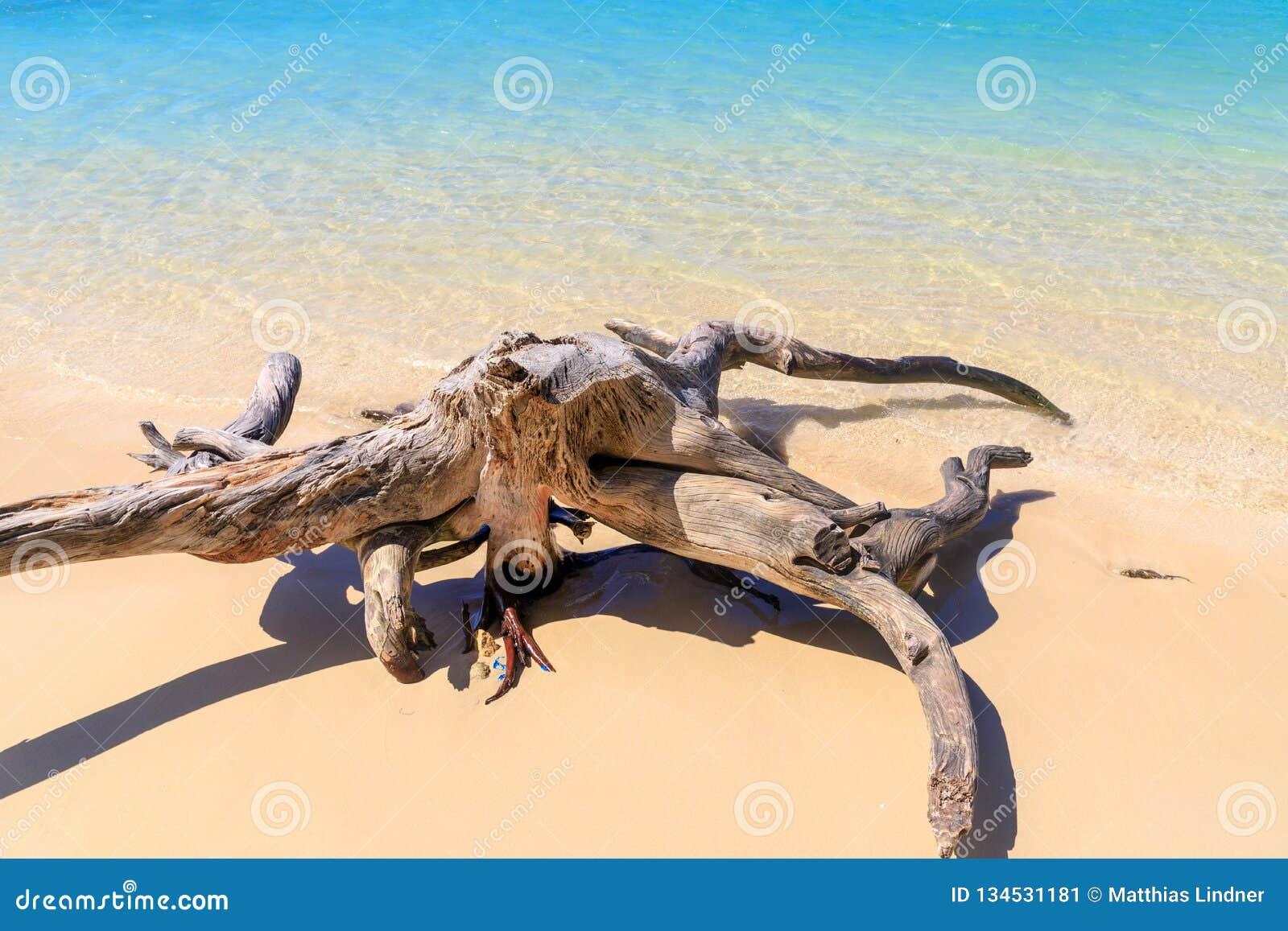在加勒比海滩的漂流木头 使细致的沙子绿松石水白色靠岸 阳光 放松 多米尼加共和国