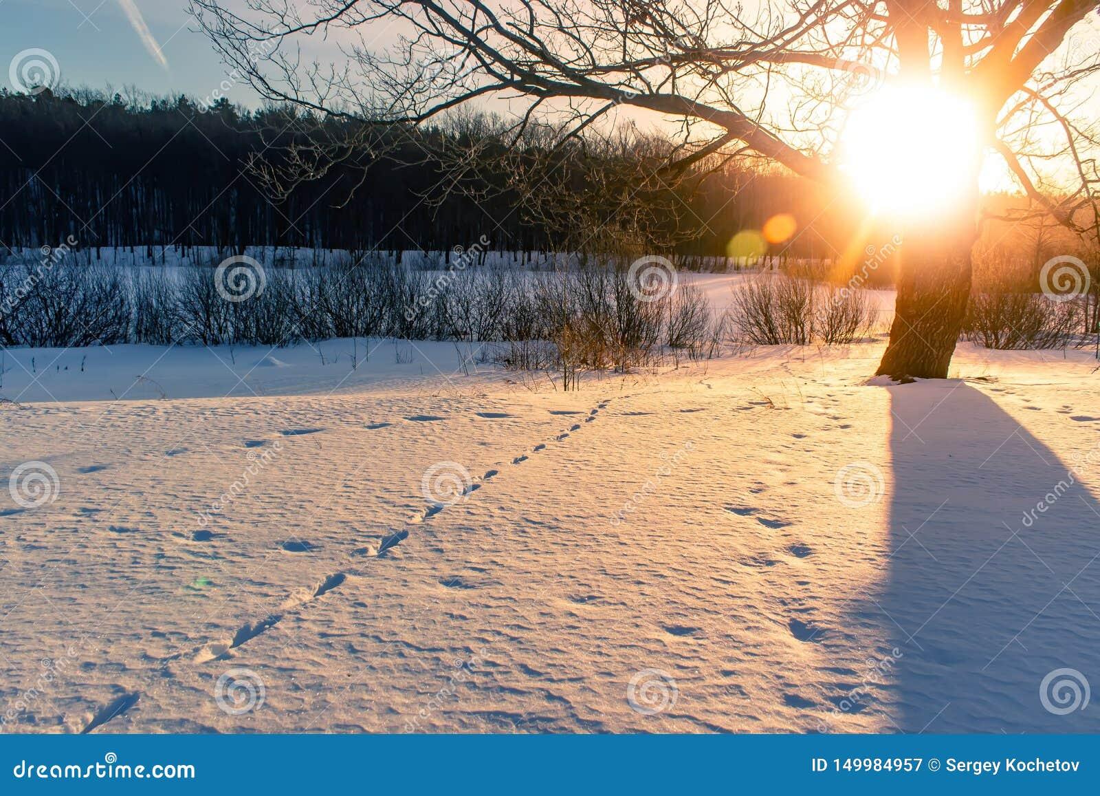 在动物冬天森林踪影的日落在雪的