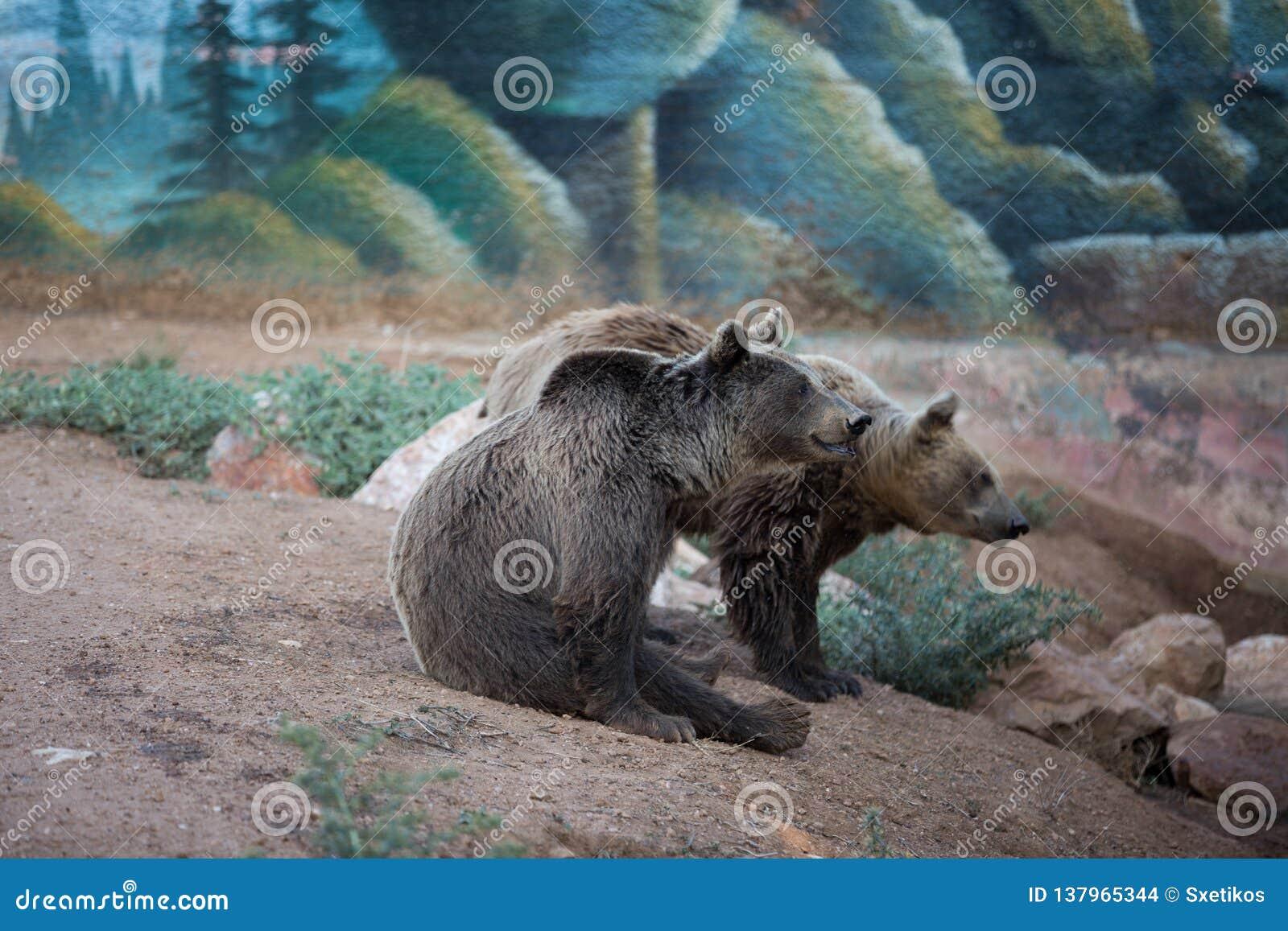 在动物园的两头棕熊
