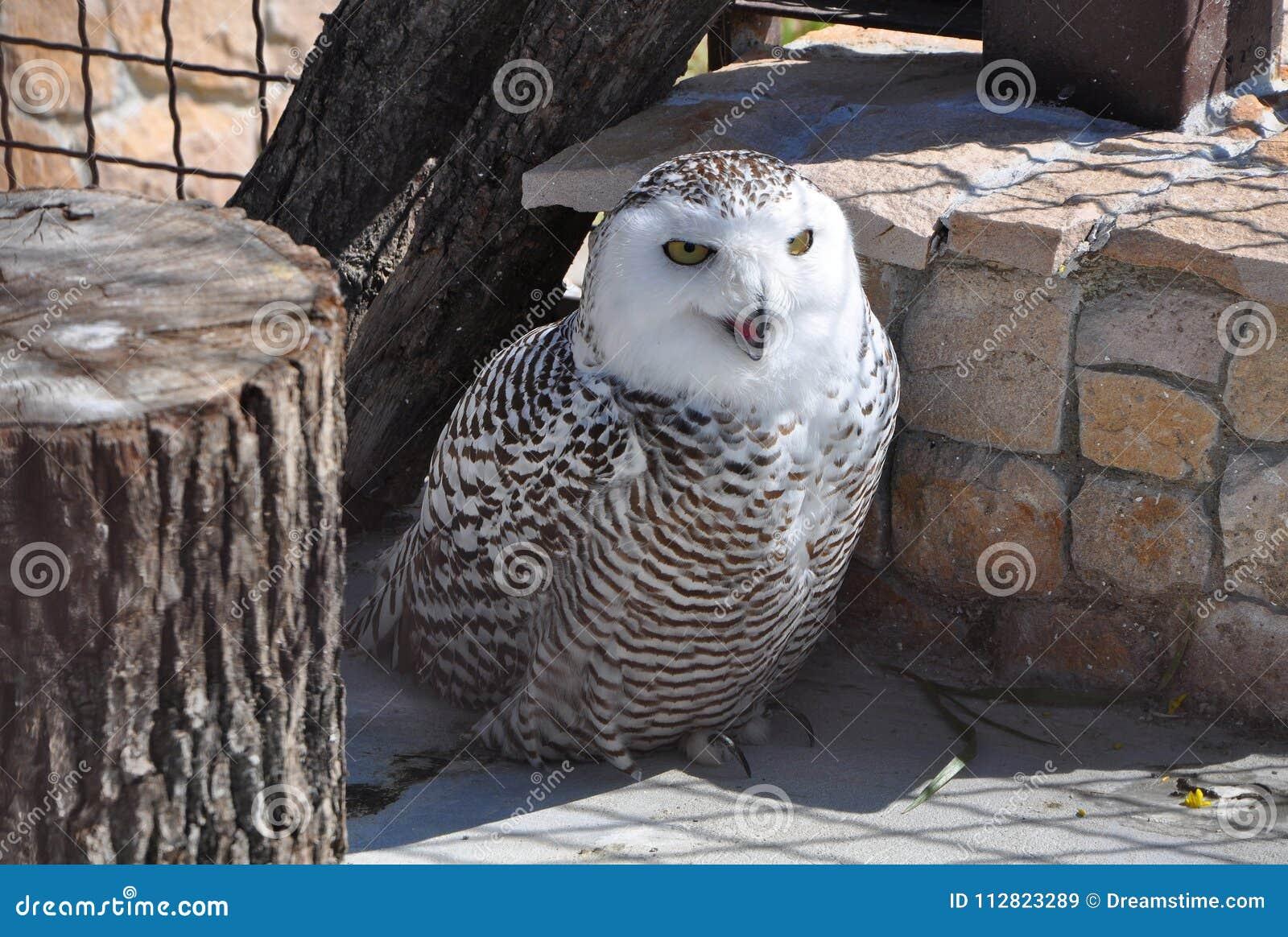 在动物园的斯诺伊猫头鹰