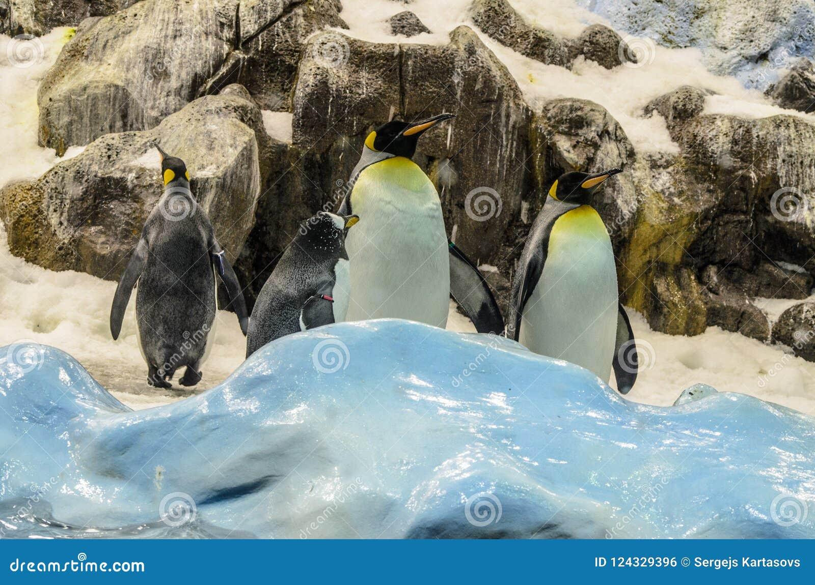 在动物园的Penquins在Loro公园,普埃尔托德拉克鲁斯,特内里费岛,