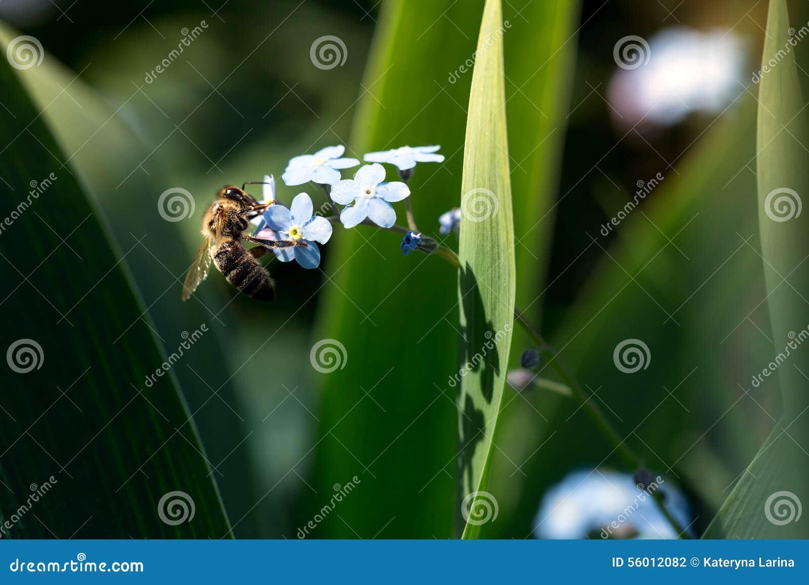 在勿忘草的蜂