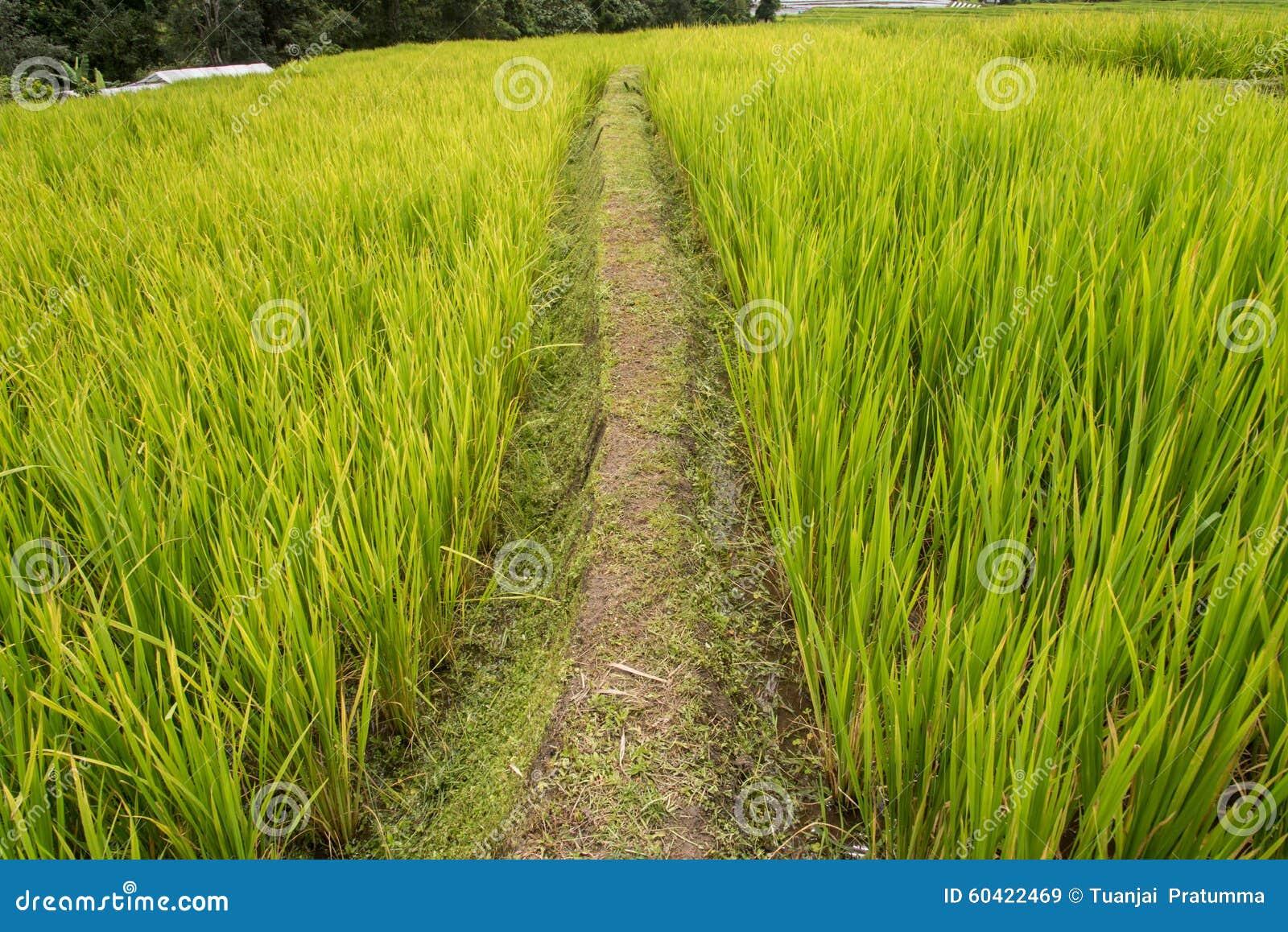在北高地的绿色米领域