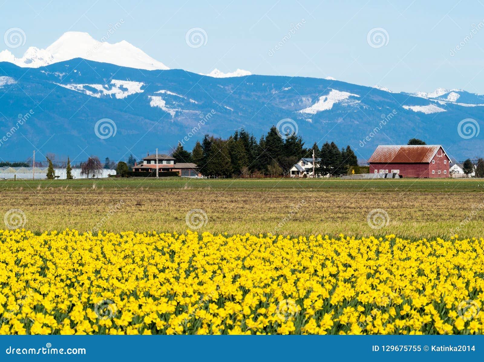 在华盛顿州的开花的黄水仙领域,美国