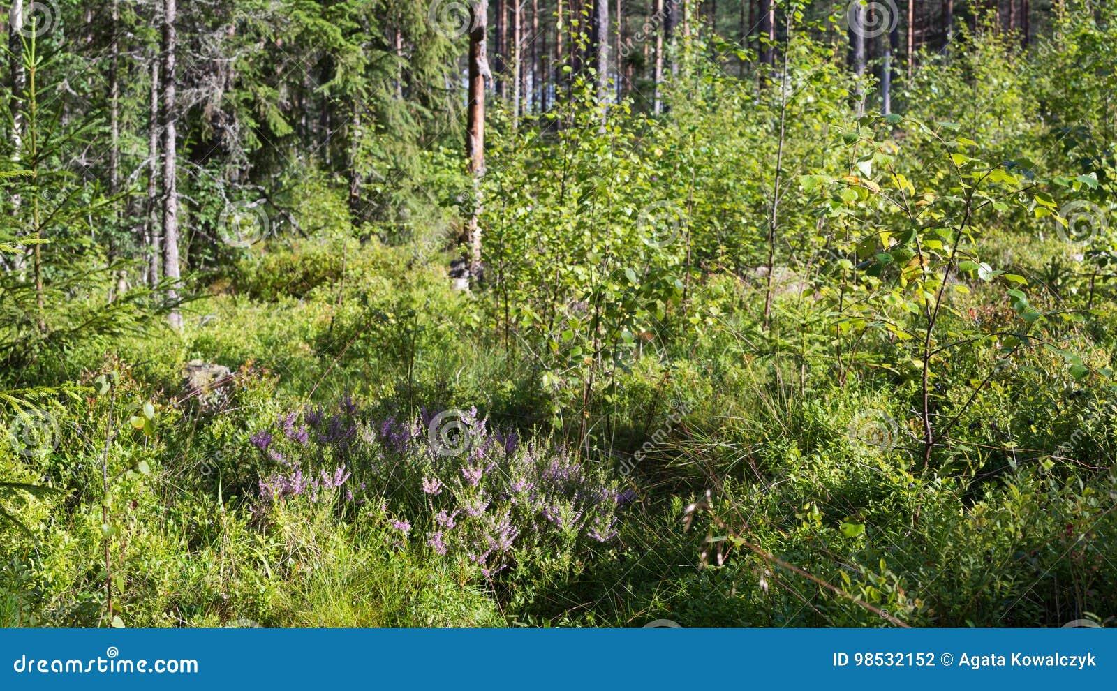 在厚实的森林地板上的石南花