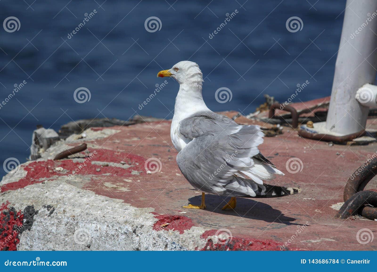 在口岸的海鸥休息