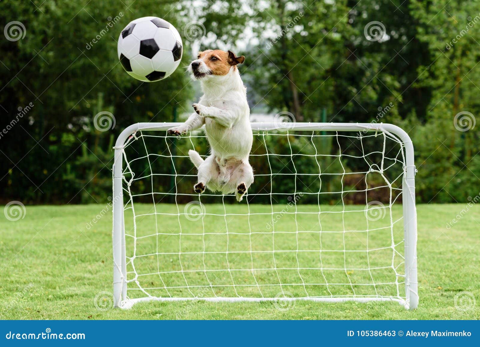 在可笑的姿势传染性的橄榄球足球和挽救目标的滑稽的狗飞行