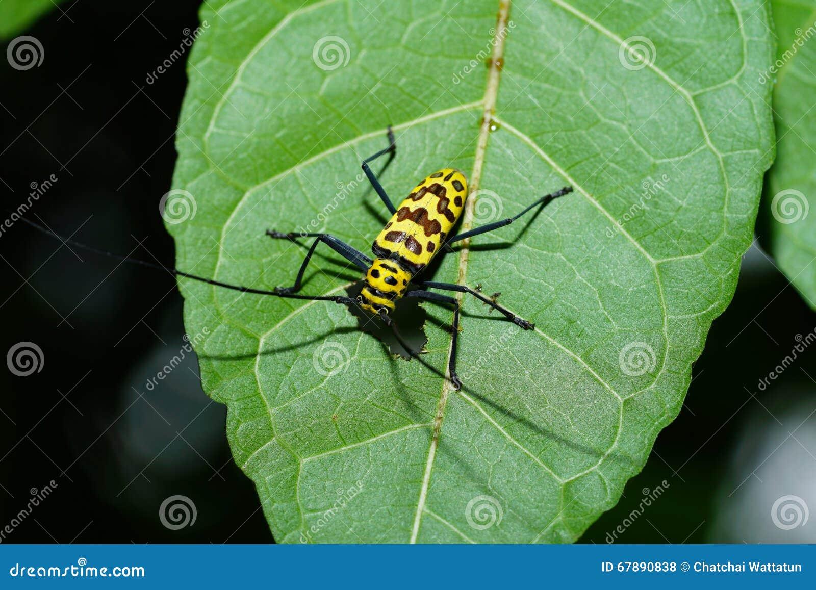 在叶子的昆虫从泰国