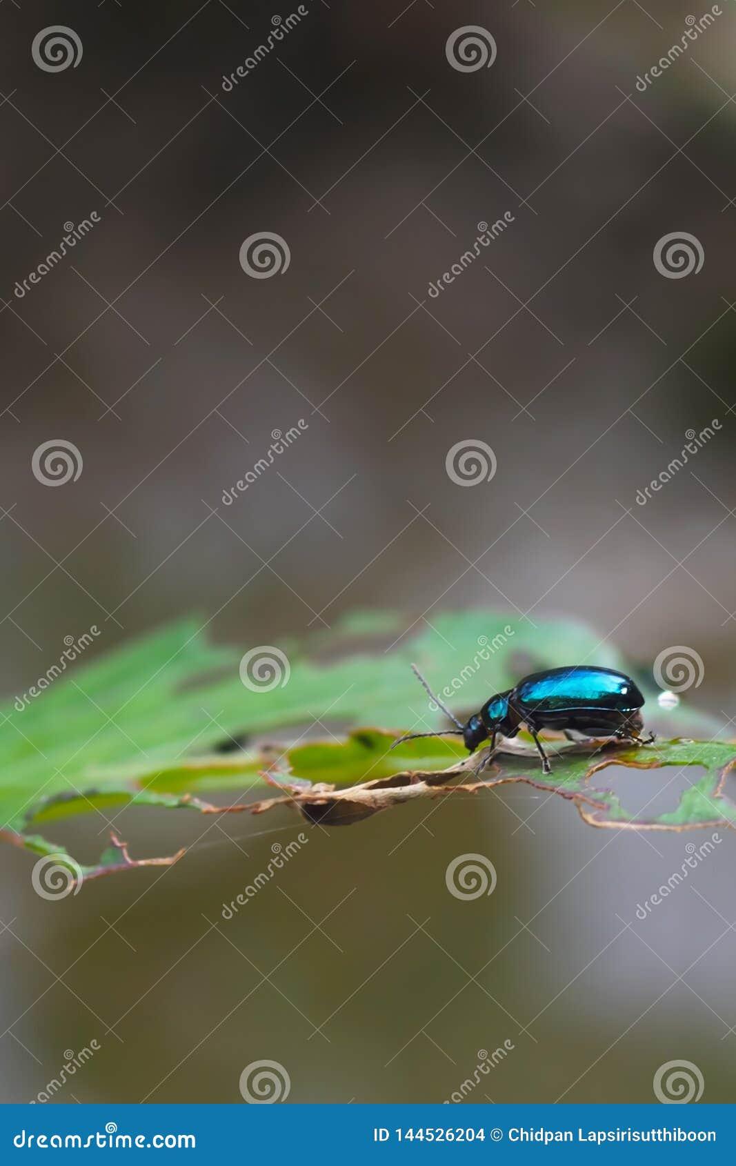 在叶子的蓝色昆虫有孔的,在自然本底