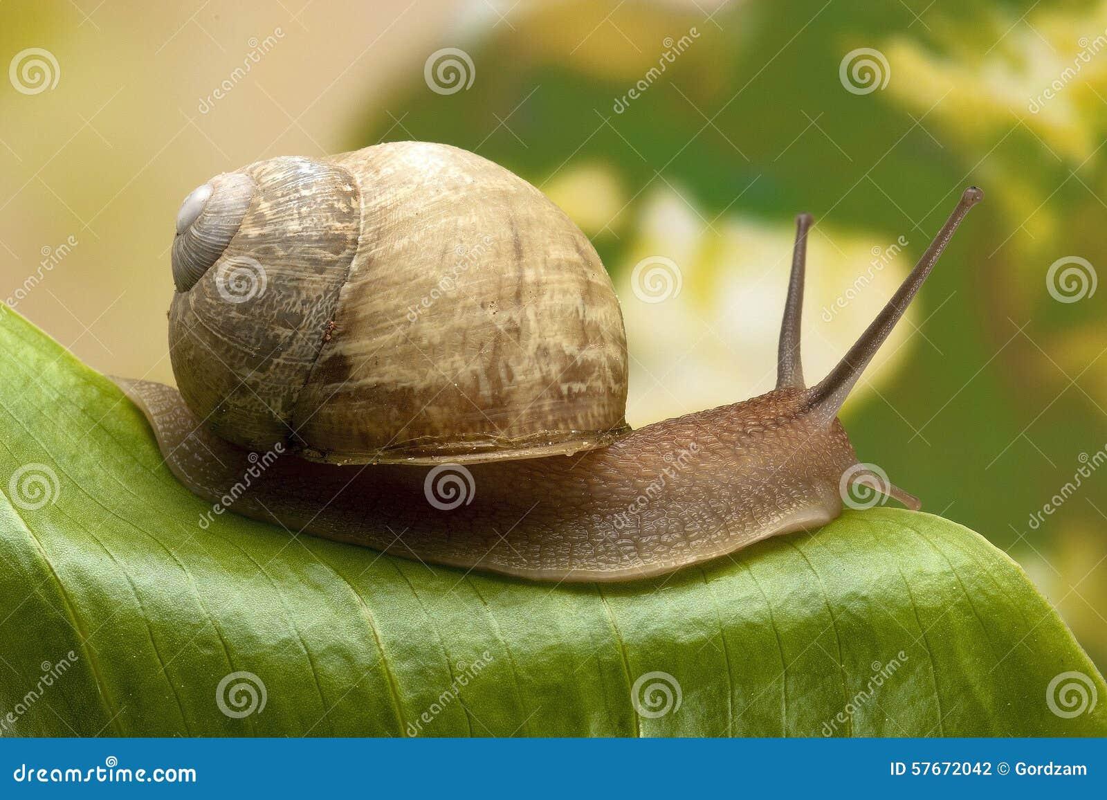 在叶子的蜗牛