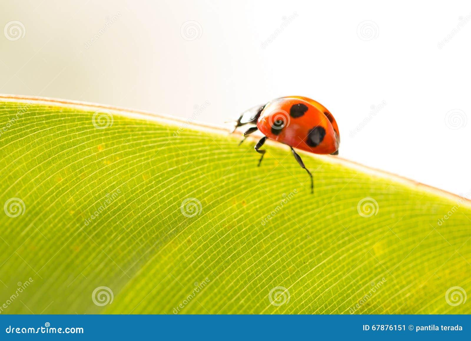 在叶子绿色背景的瓢虫