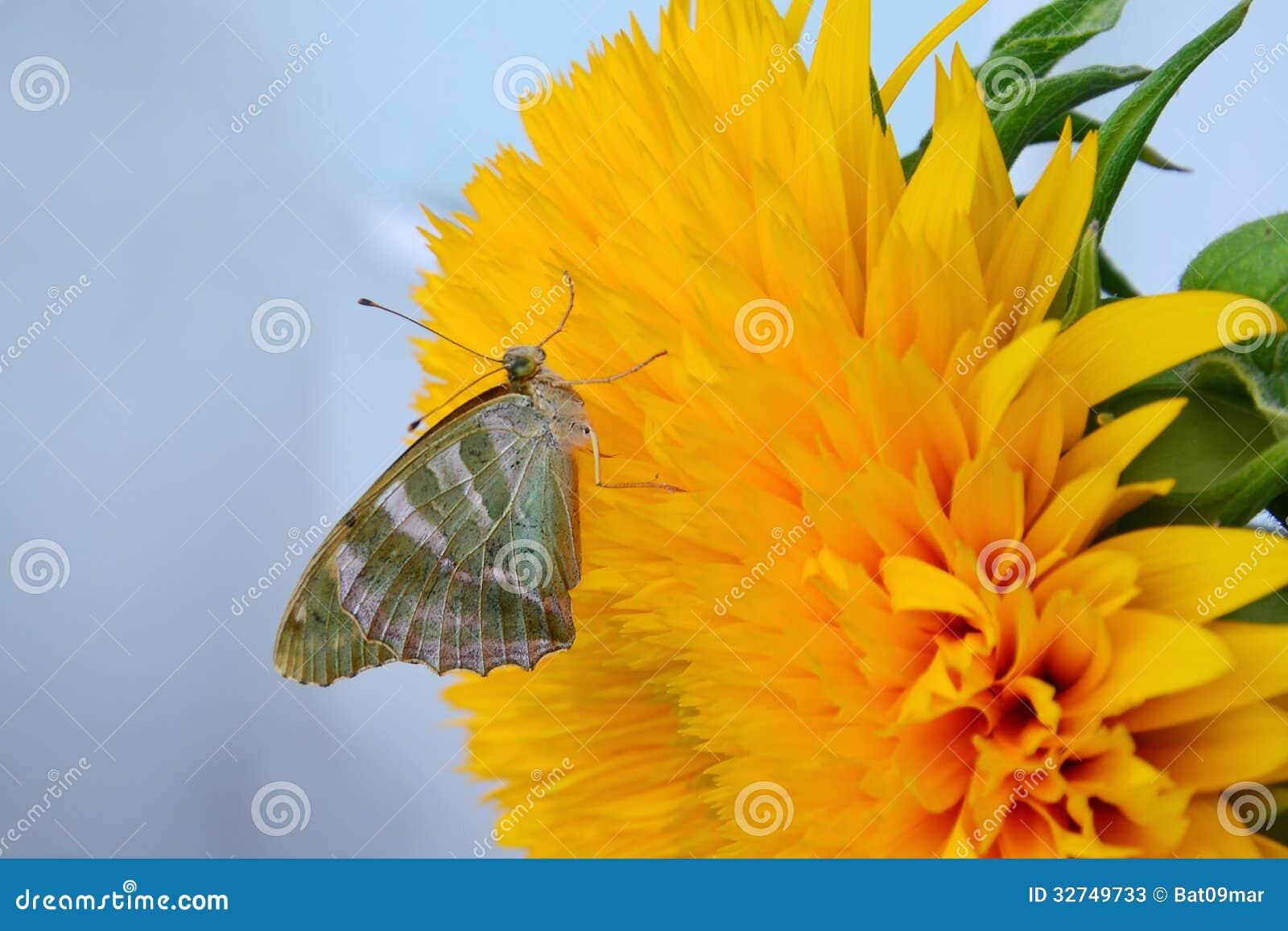 在向日葵的蝴蝶