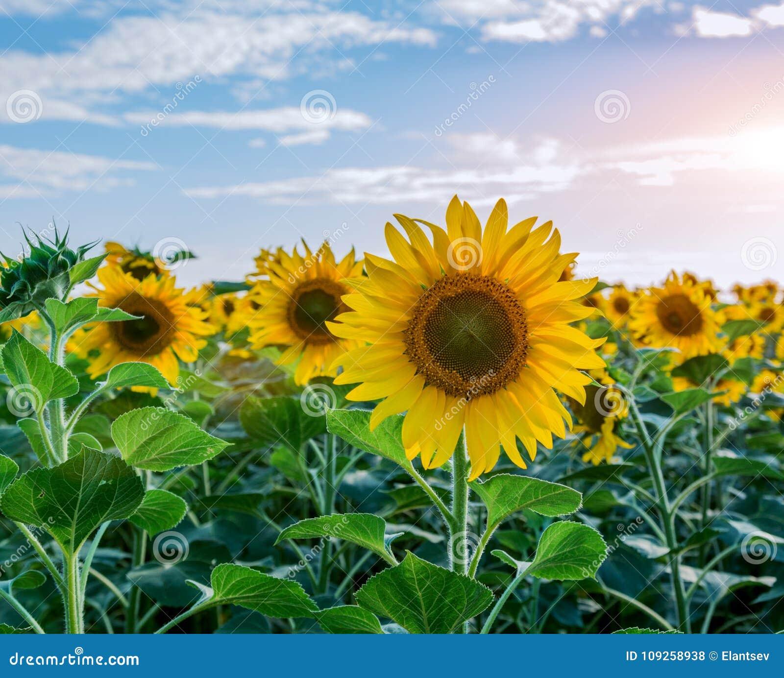 在向日葵领域的明亮的黄色,橙色向日葵花