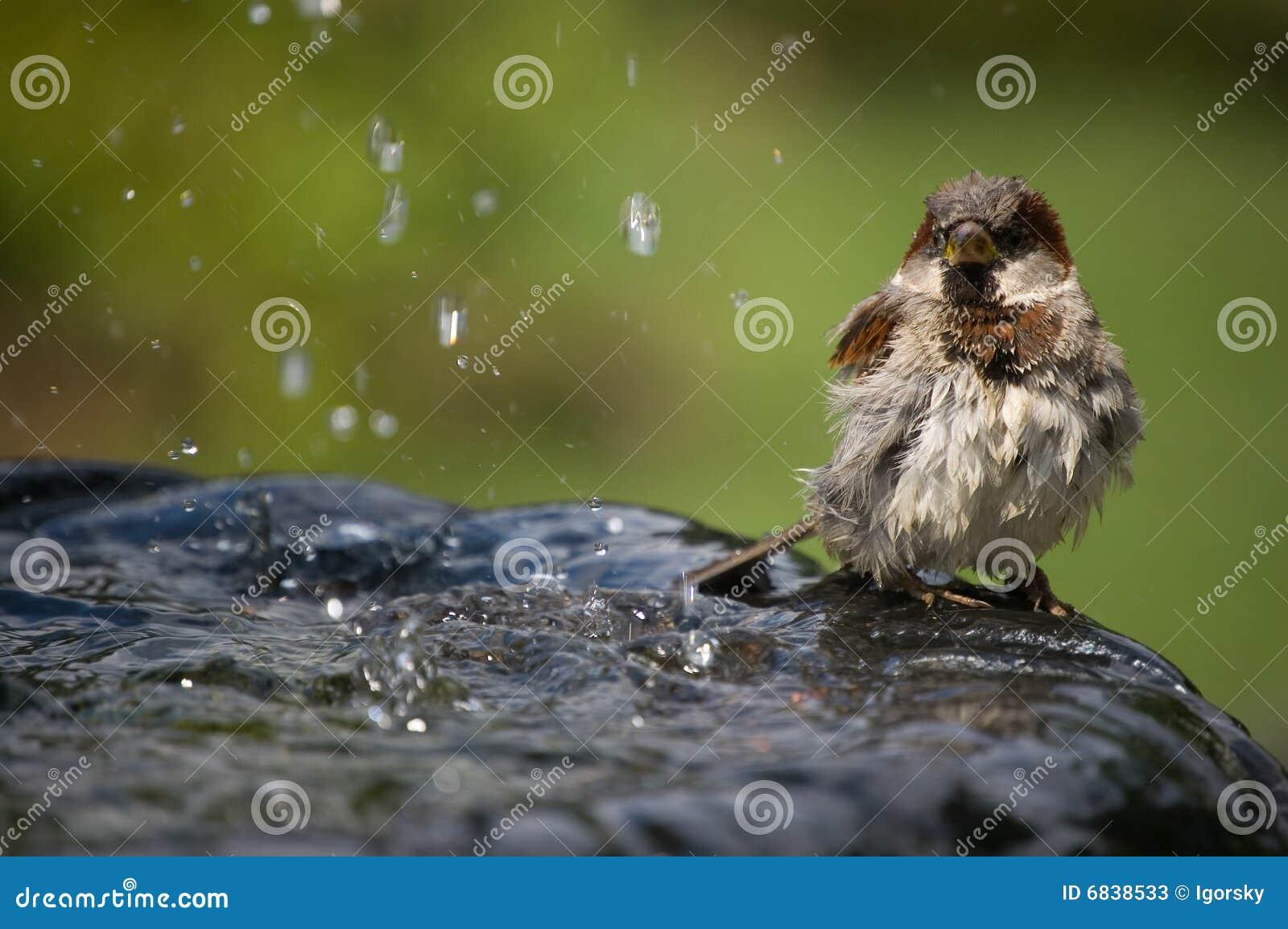 在喷泉的麻雀
