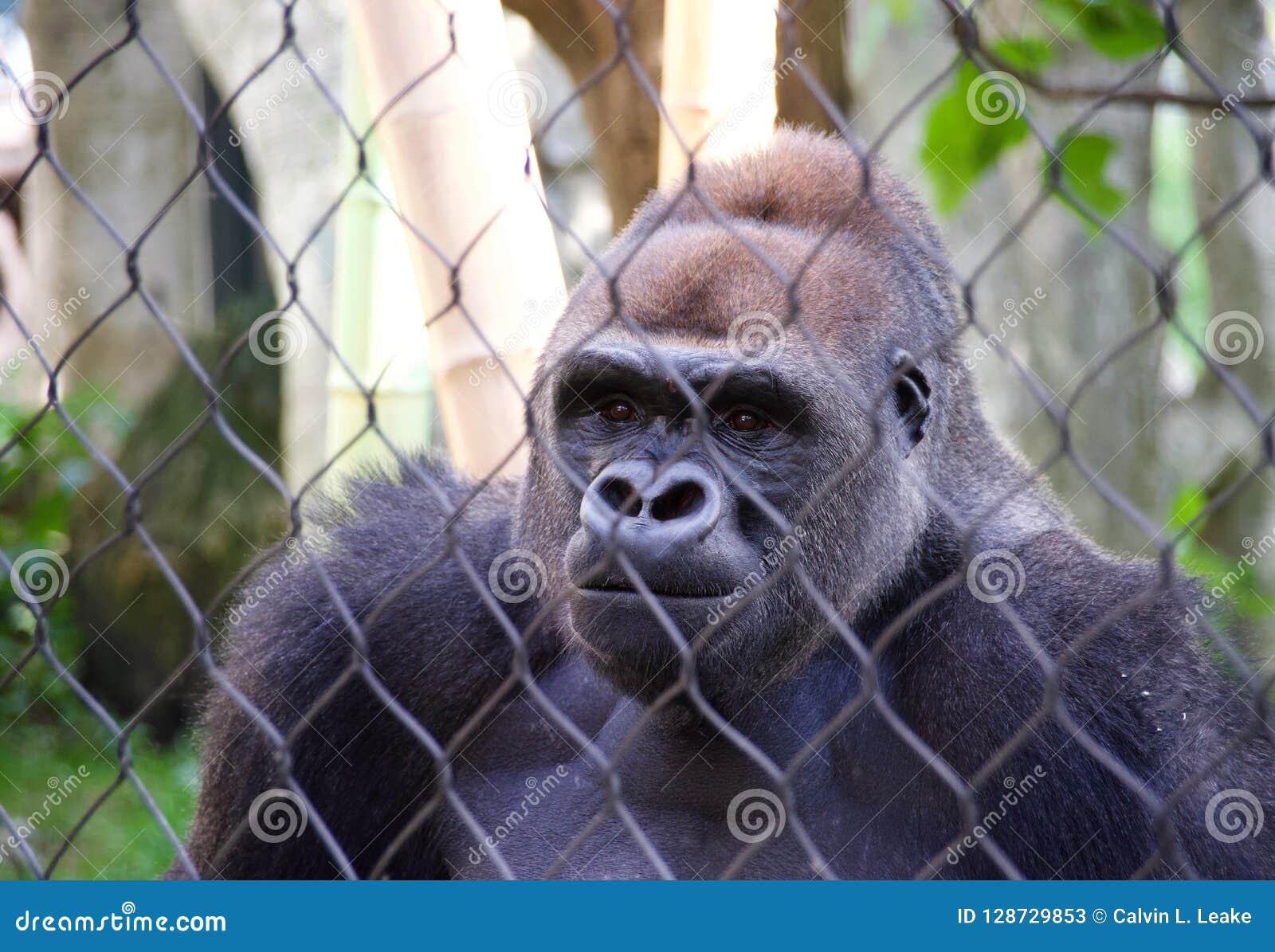 在囚禁的大猩猩