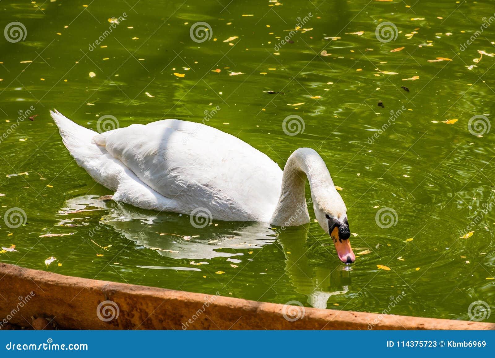 在国家公园看起来的水池的天鹅游泳令人敬畏