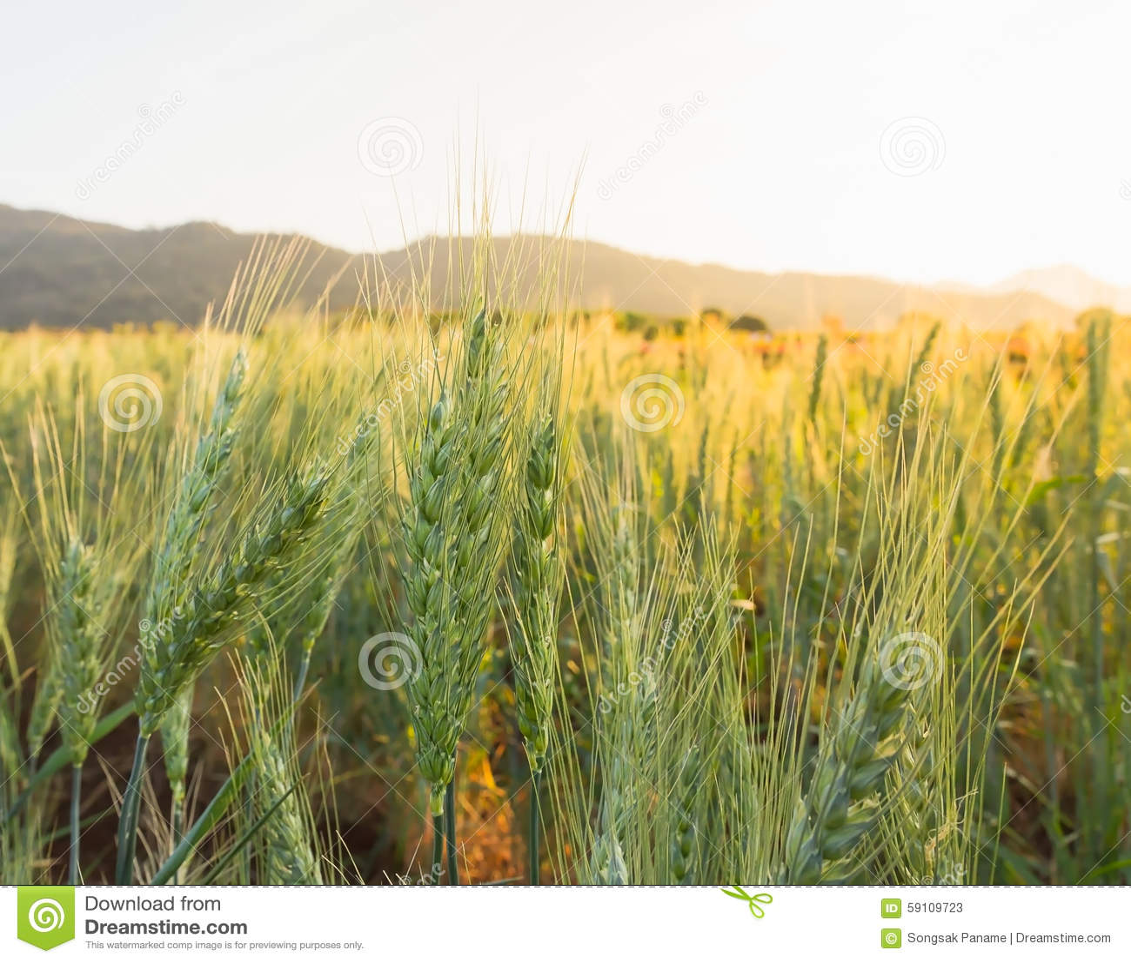 在国家边的麦田