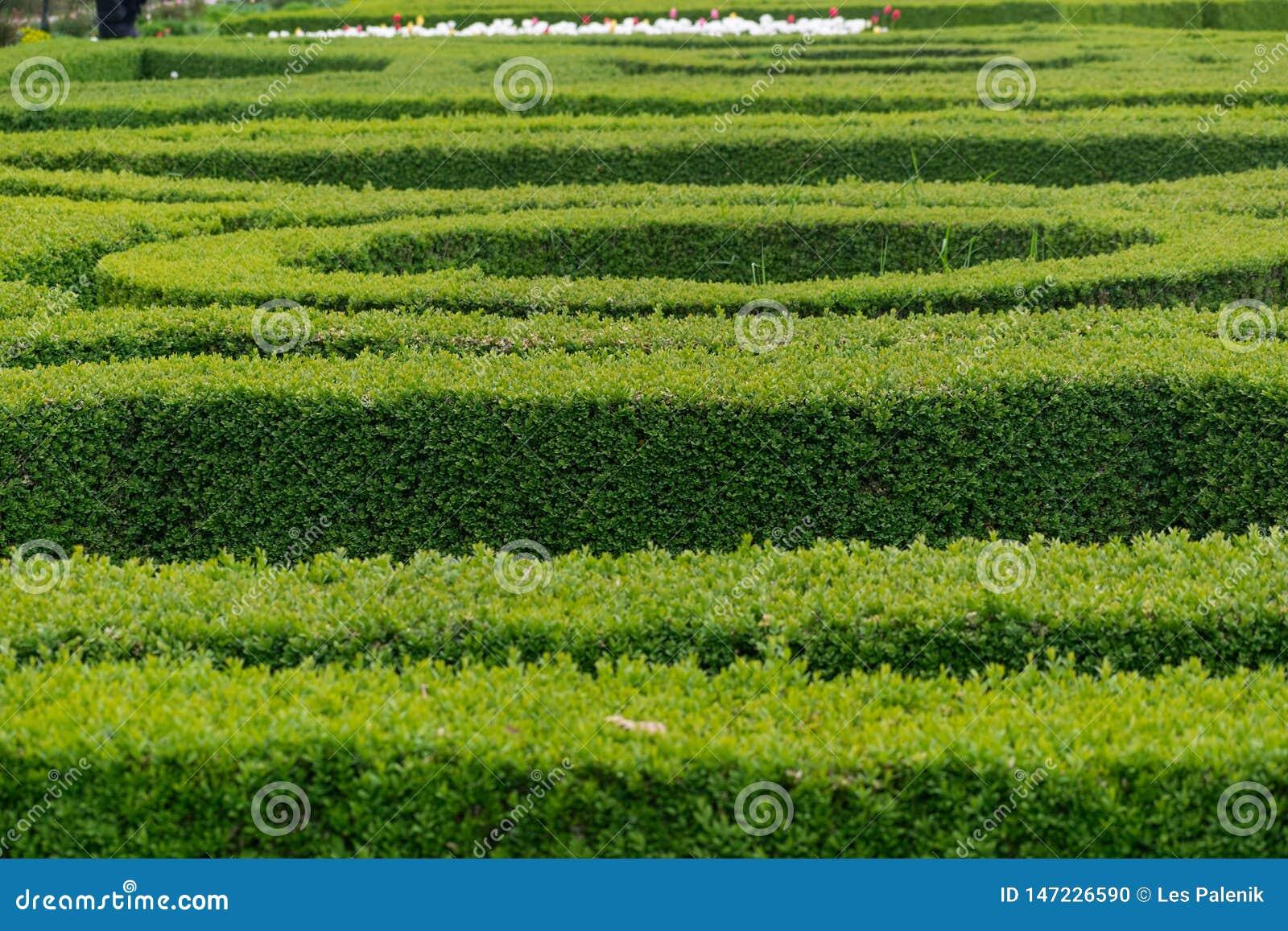 在圆和平直的形状的绿色树篱