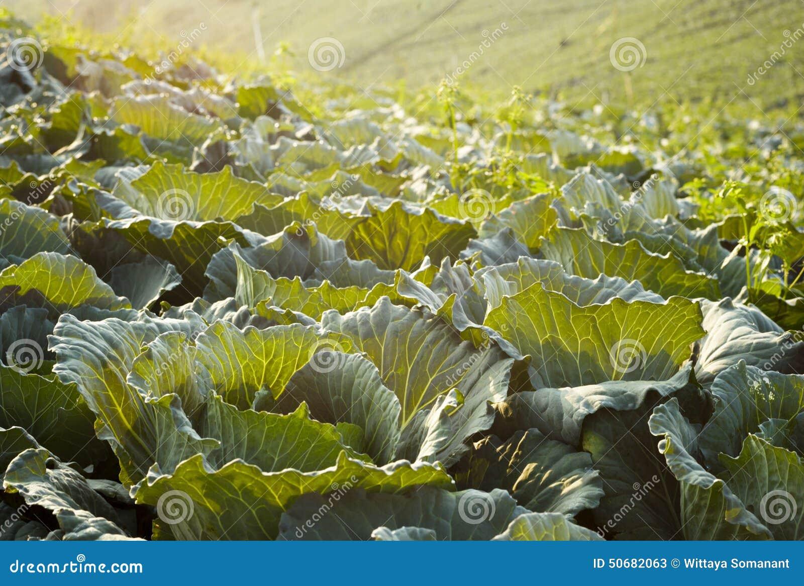 Download 在圆白菜领域的早晨 库存图片. 图片 包括有 农场, 泰国, 食物, 营养素, 小山, 圆白菜, 蔬菜 - 50682063