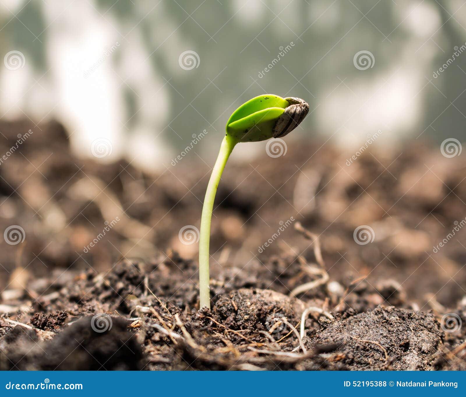 在土壤的种子
