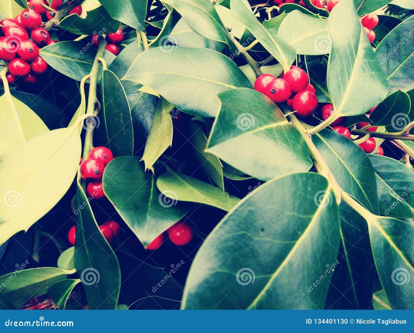 在圣诞节月桂树红色莓果的特写镜头-葡萄酒减速火箭的圣诞节概念