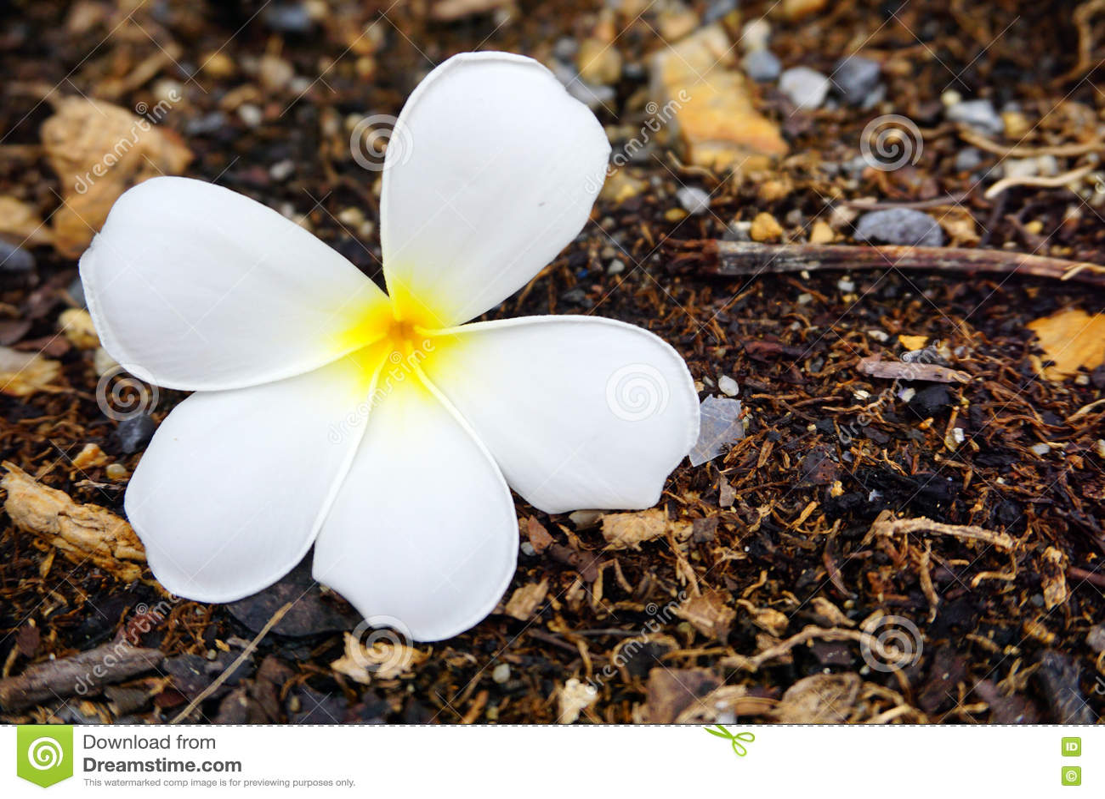 在地板上的白色羽毛或赤素馨花花