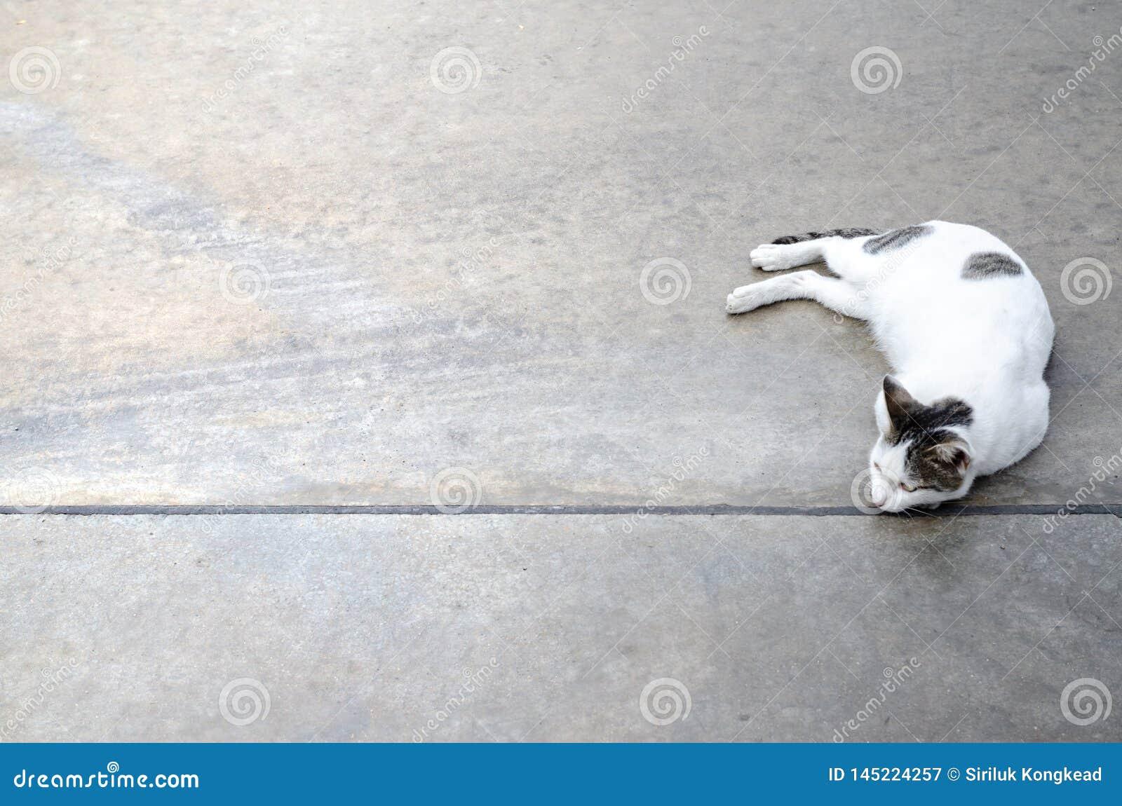 在地板上的逗人喜爱的白色猫