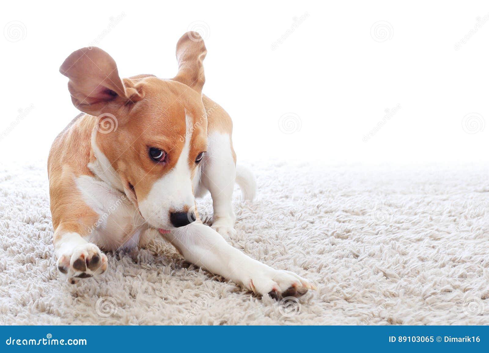 在地毯的滑稽的狗