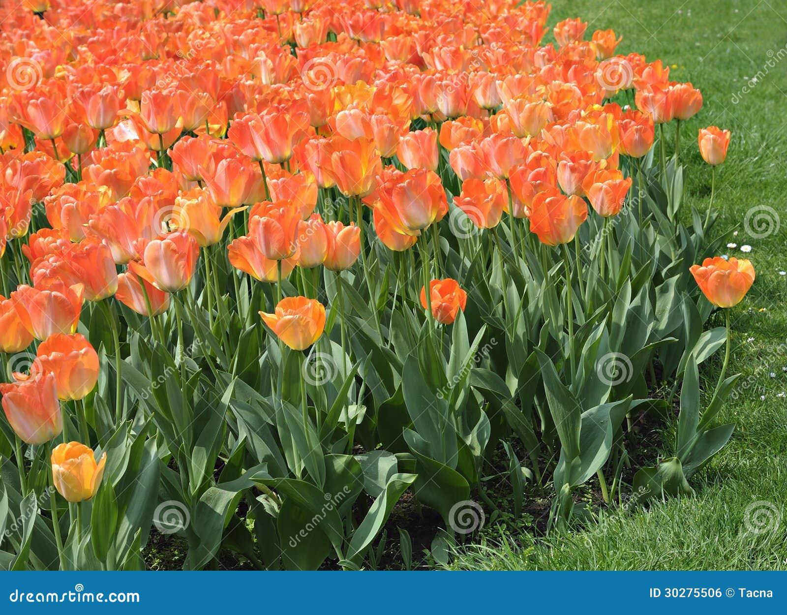 在城市parc的橙色郁金香