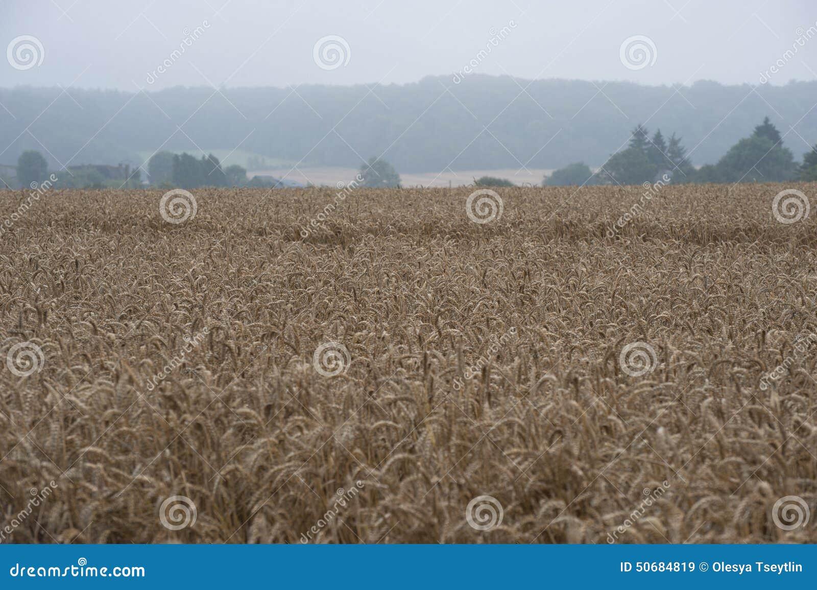 Download 在域的生长麦子 库存图片. 图片 包括有 生长, 种植园, 峰值, 词根, 麦子, 耳朵, 工厂, 巴西 - 50684819