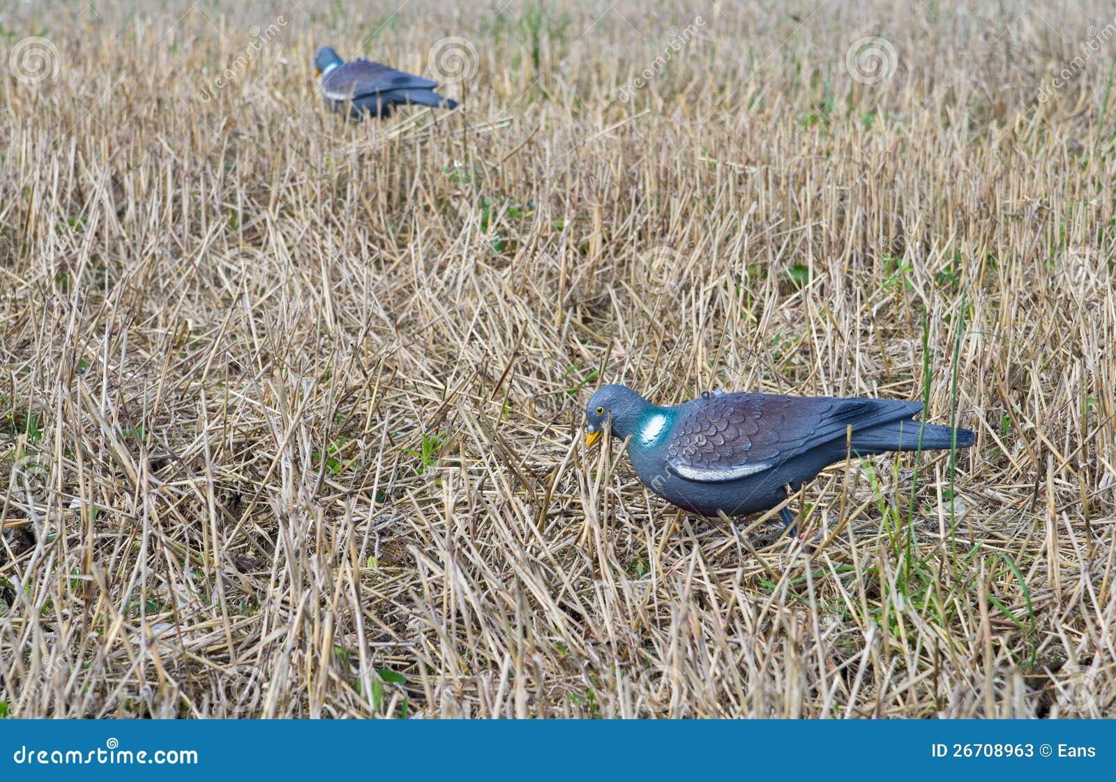 在域的鸽子诱饵