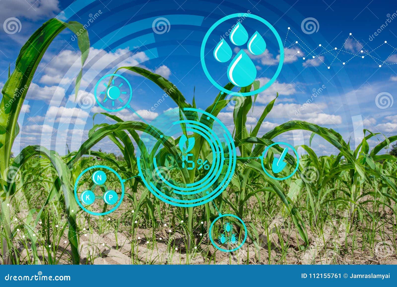 在培养的农业农田的年轻玉米幼木与现代技术概念