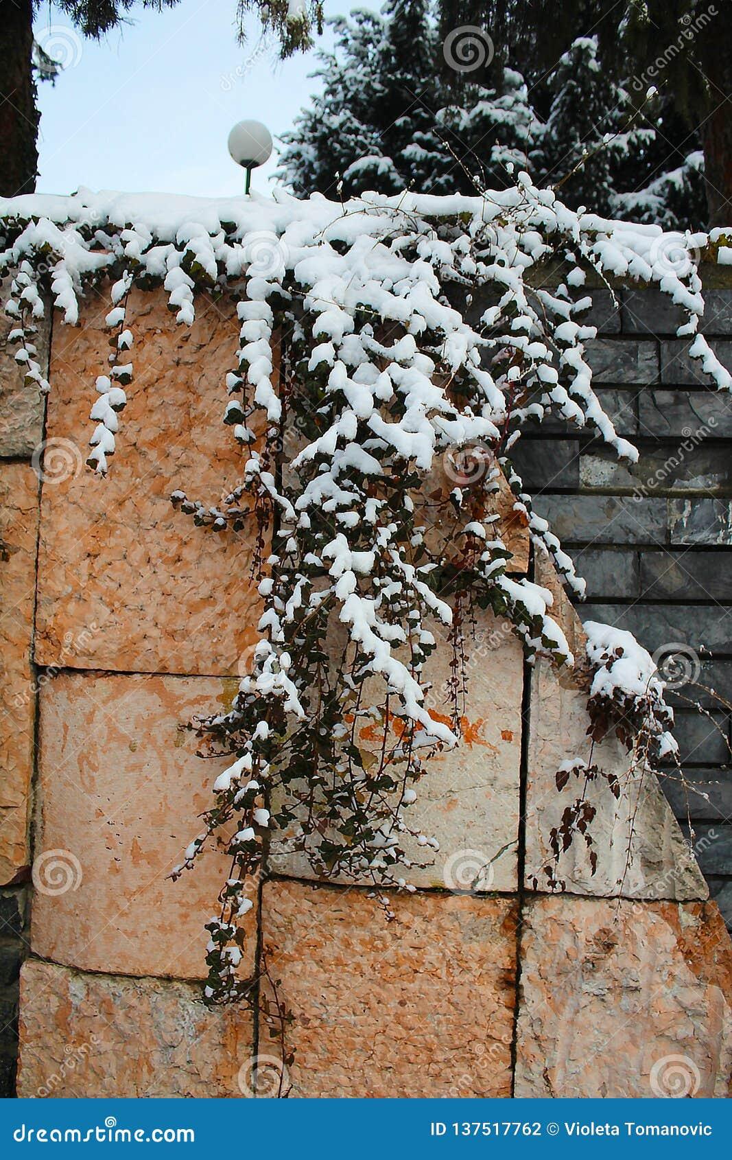 在墙壁上的多雪的常春藤