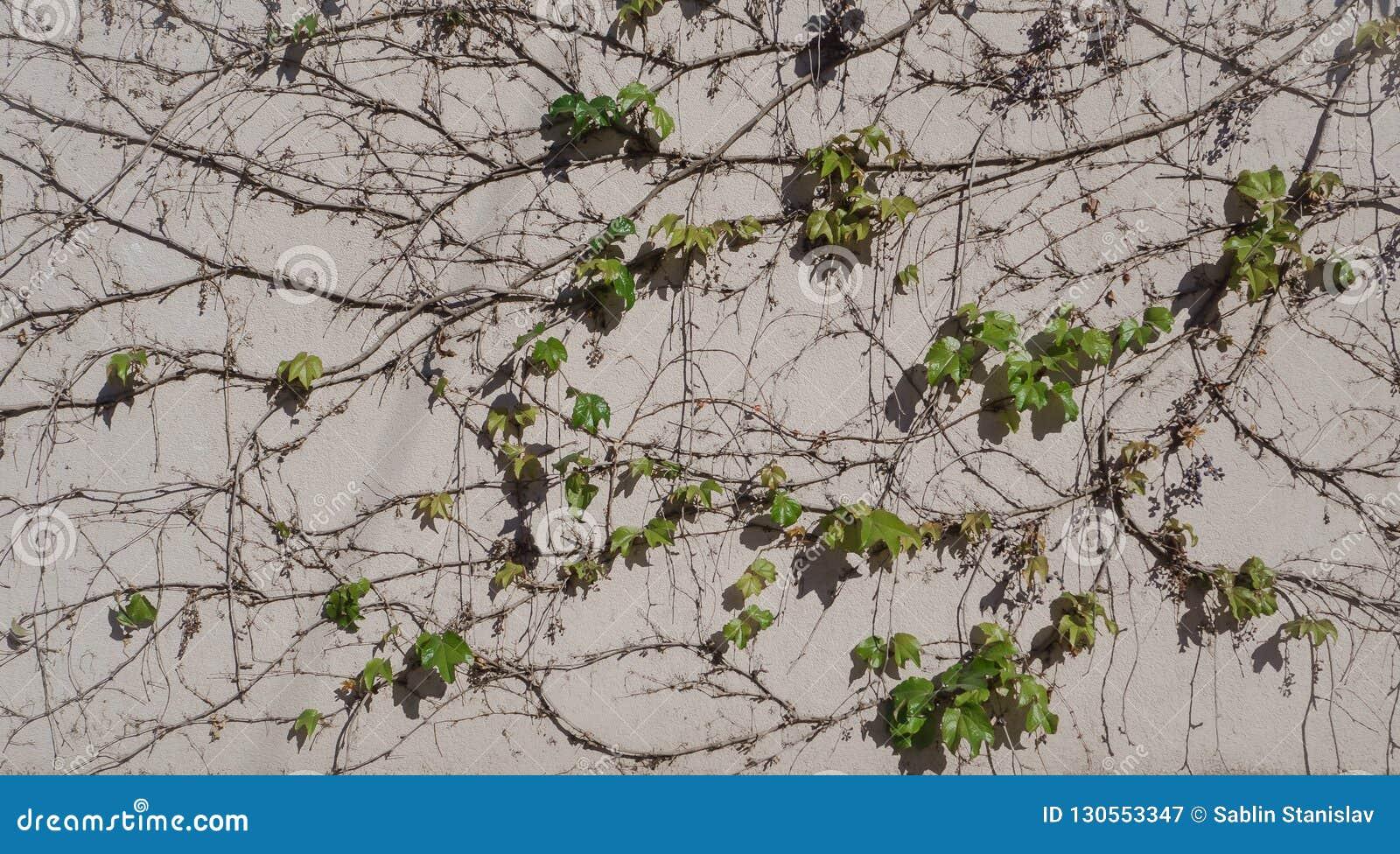 在墙壁上的狂放的葡萄 与藤的自然本底