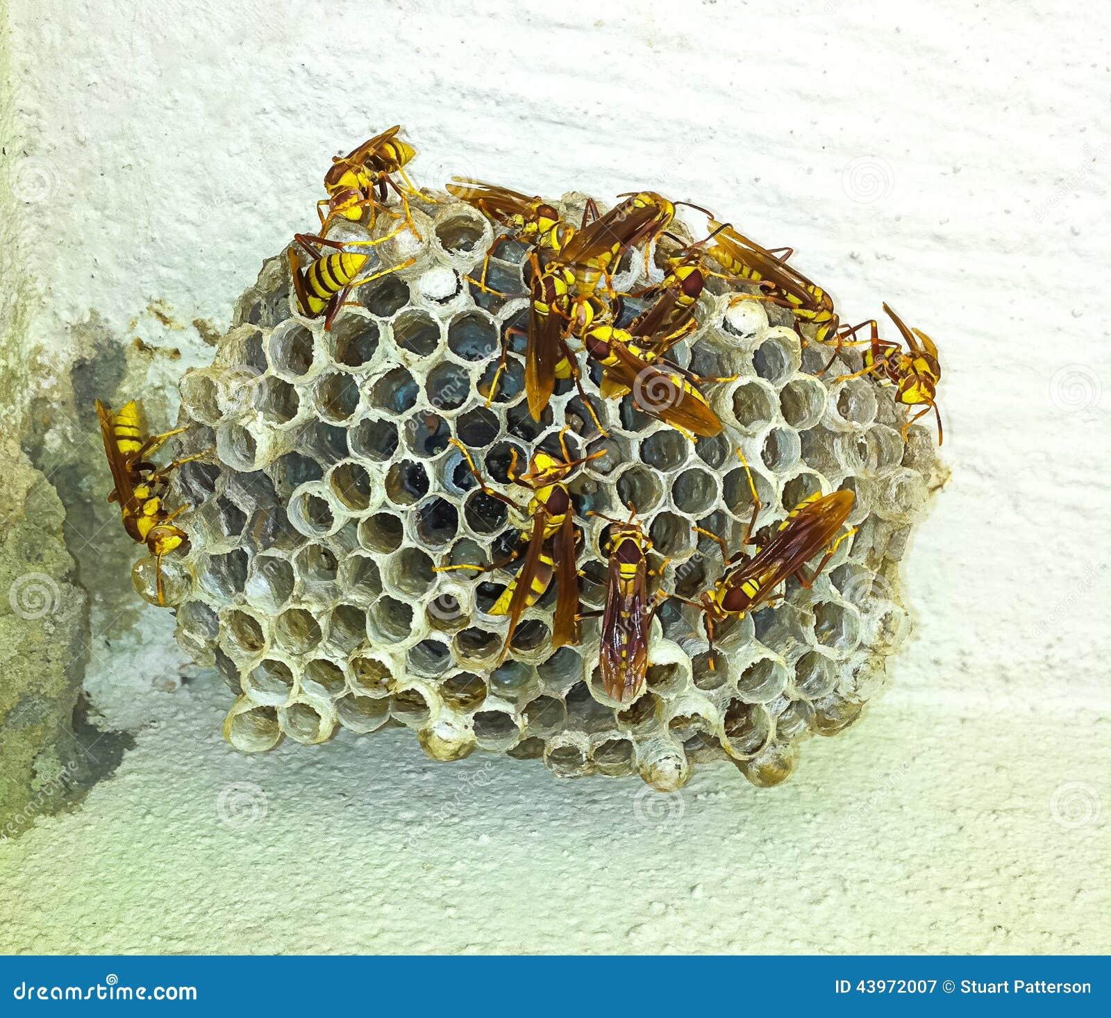 在墙壁上的黄蜂巢