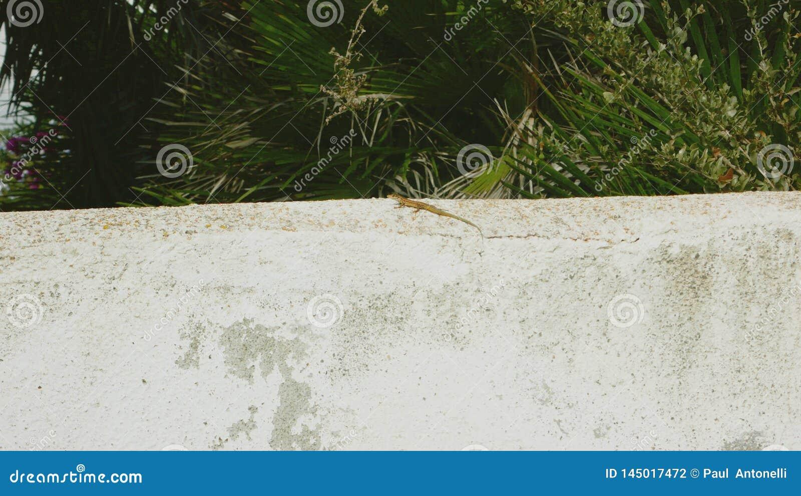 在墙壁版本1的蜥蜴