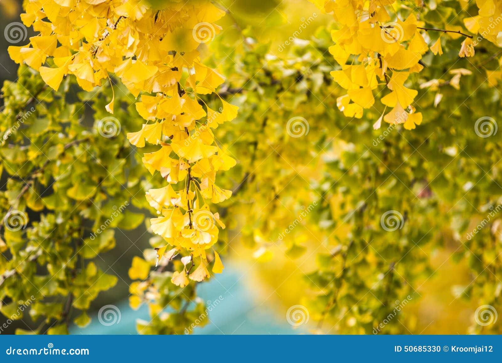 Download 在壮观的秋天颜色的银杏树叶子 库存例证. 插画 包括有 医学, 银杏树, 纹理, 秋天, 背包, 自治权 - 50685330