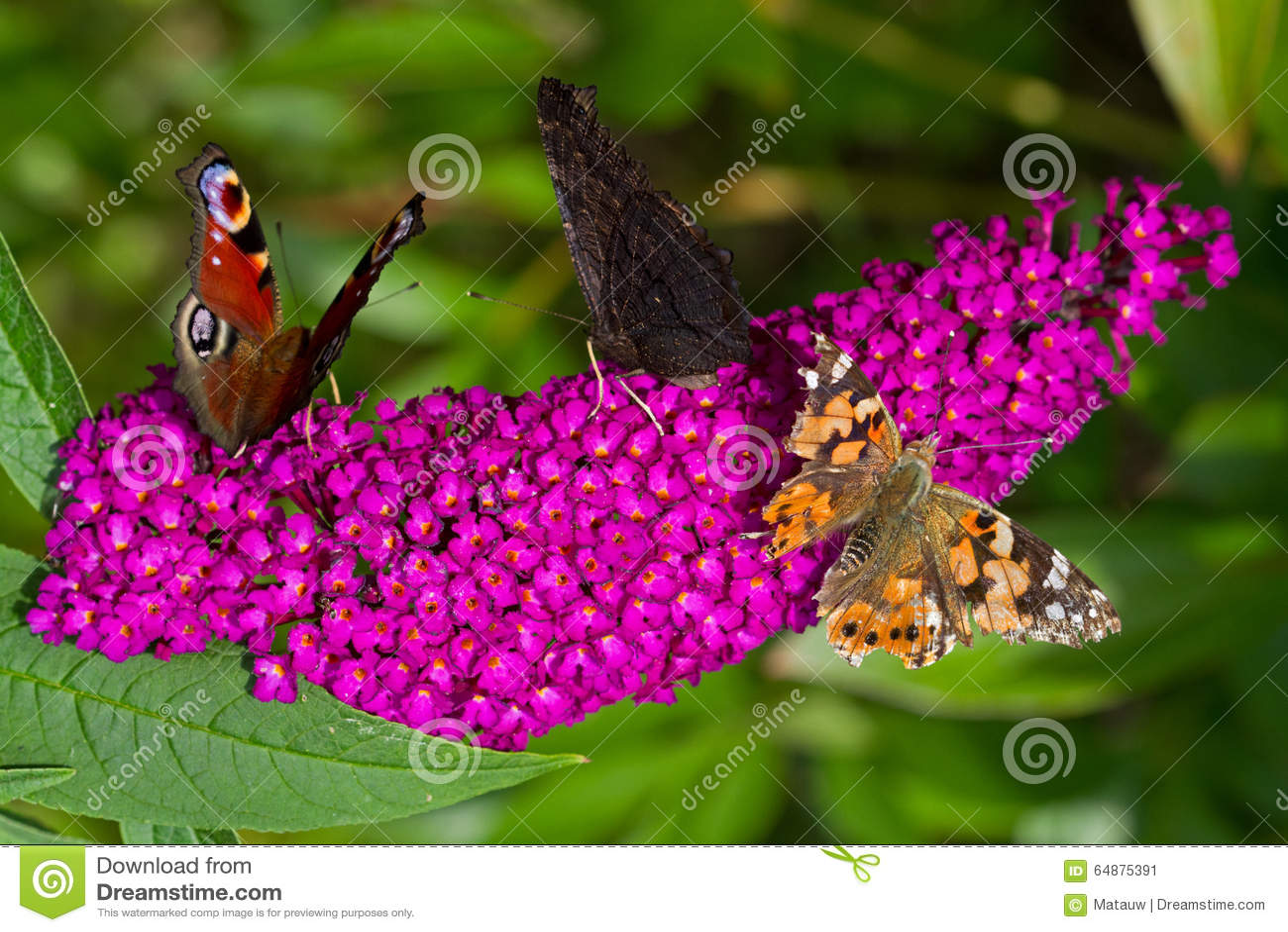丁香大型人礹c._在夏天丁香的蝴蝶