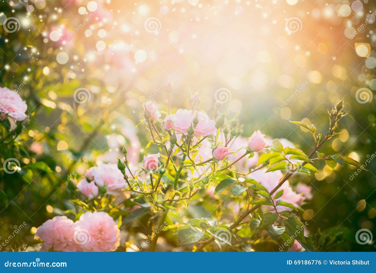 在夏天庭院或公园自然背景的桃红色苍白玫瑰丛