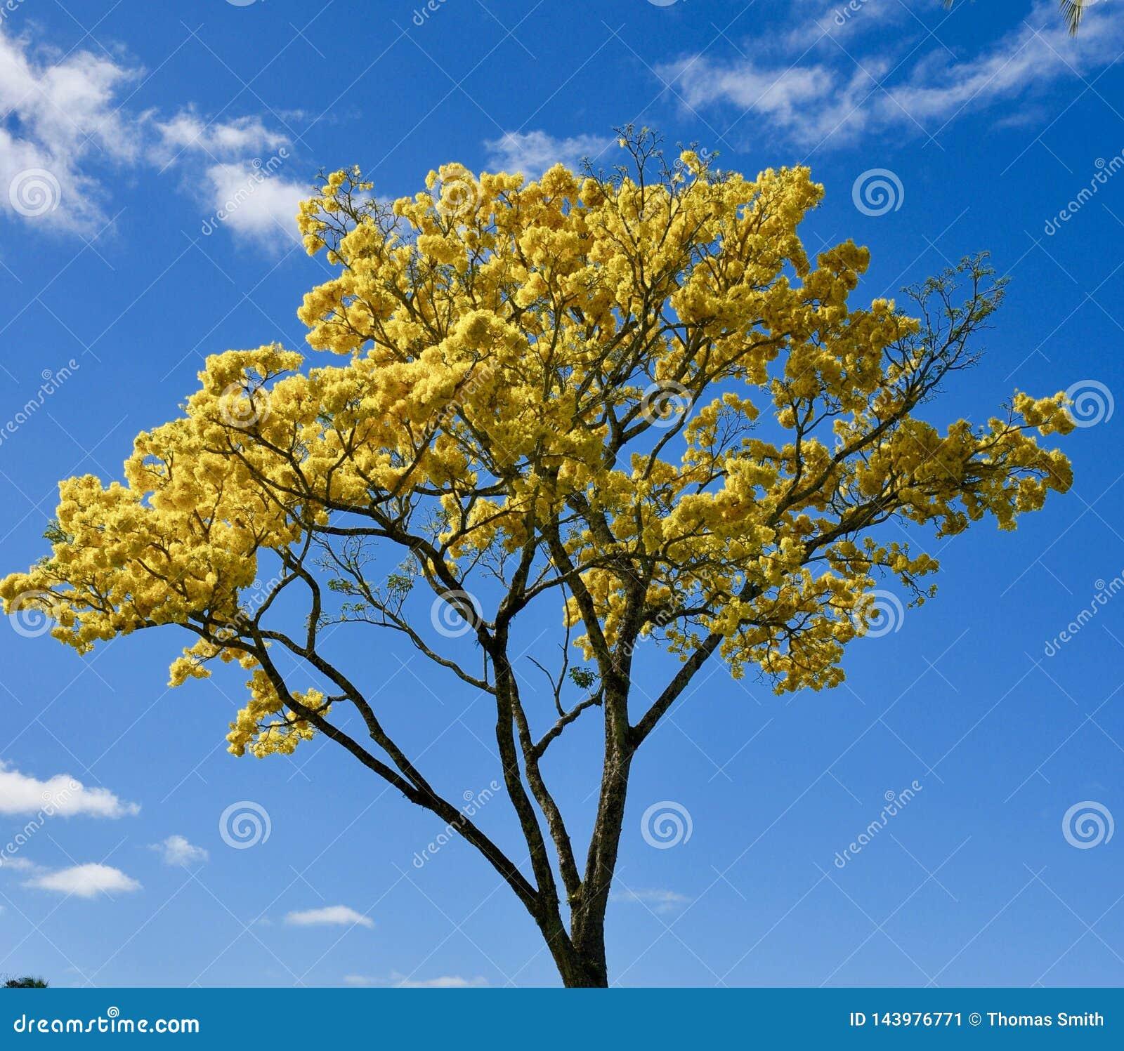 在夏威夷海岛上的黄色黄金雨树绽放