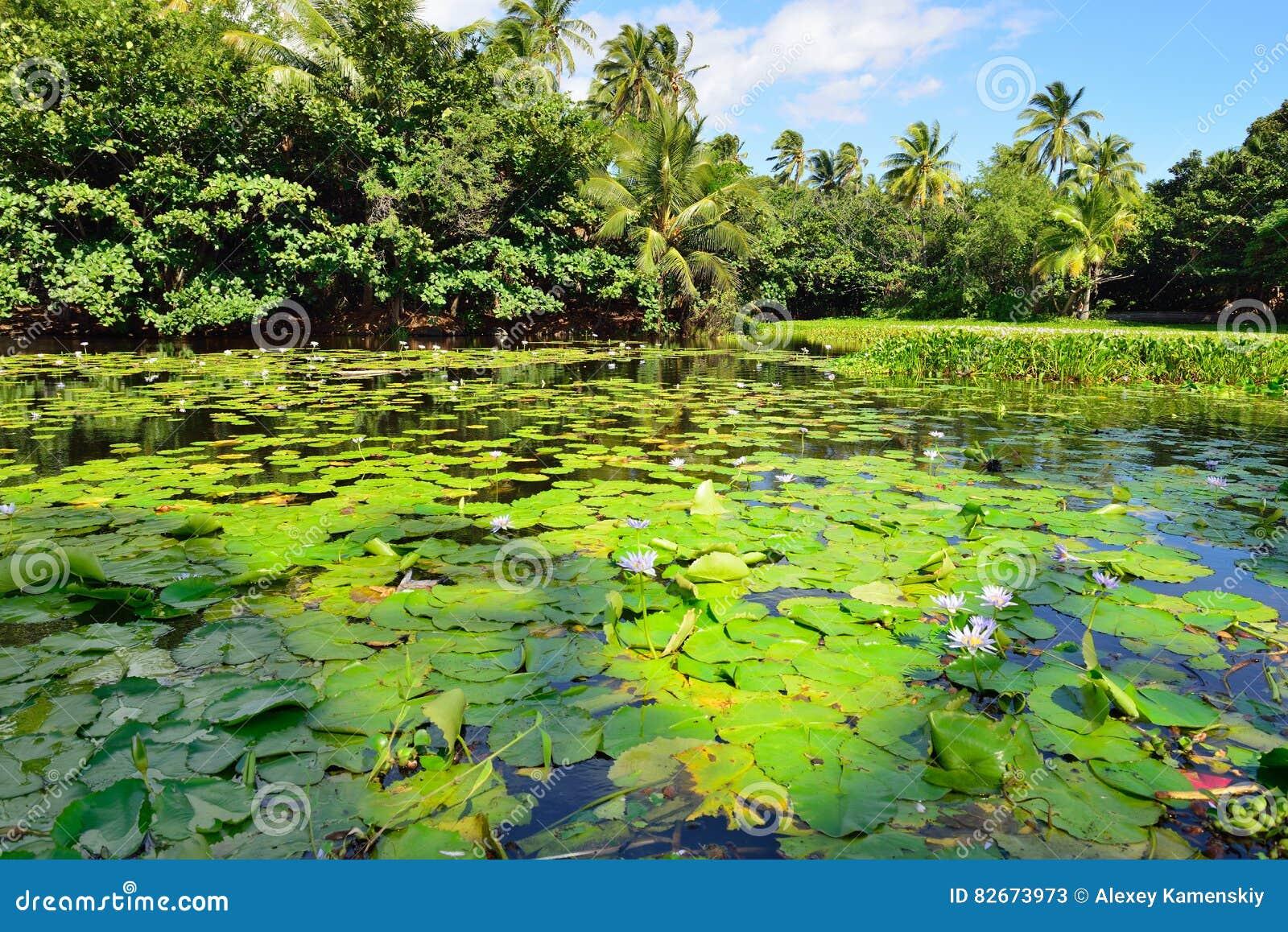 在夏威夷的湖大岛的热带百合