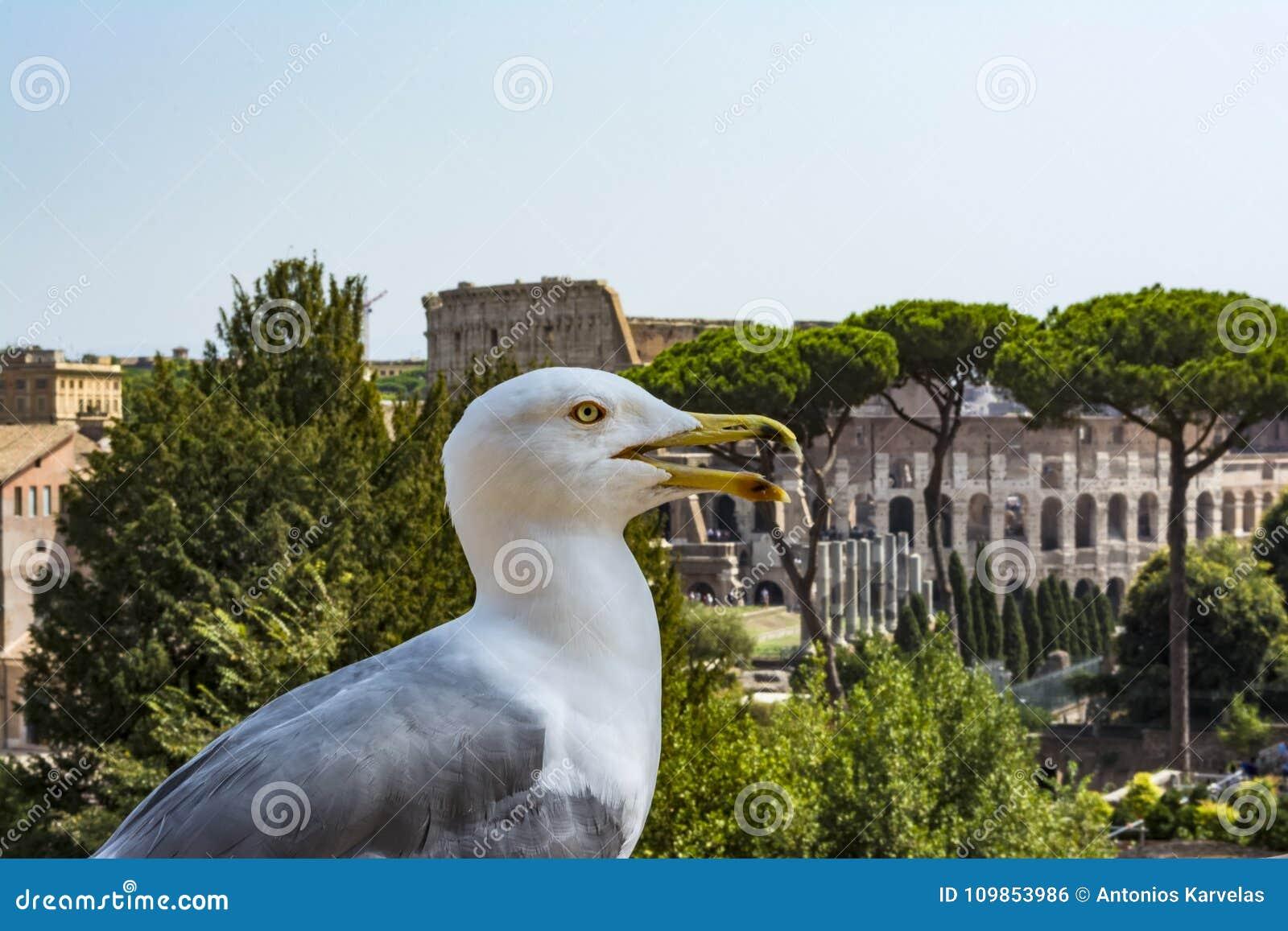 在外型的鸥与罗马斗兽场 观看罗马和罗马斗兽场的海鸥 鸟在罗马广场,历史的市中心,罗马,