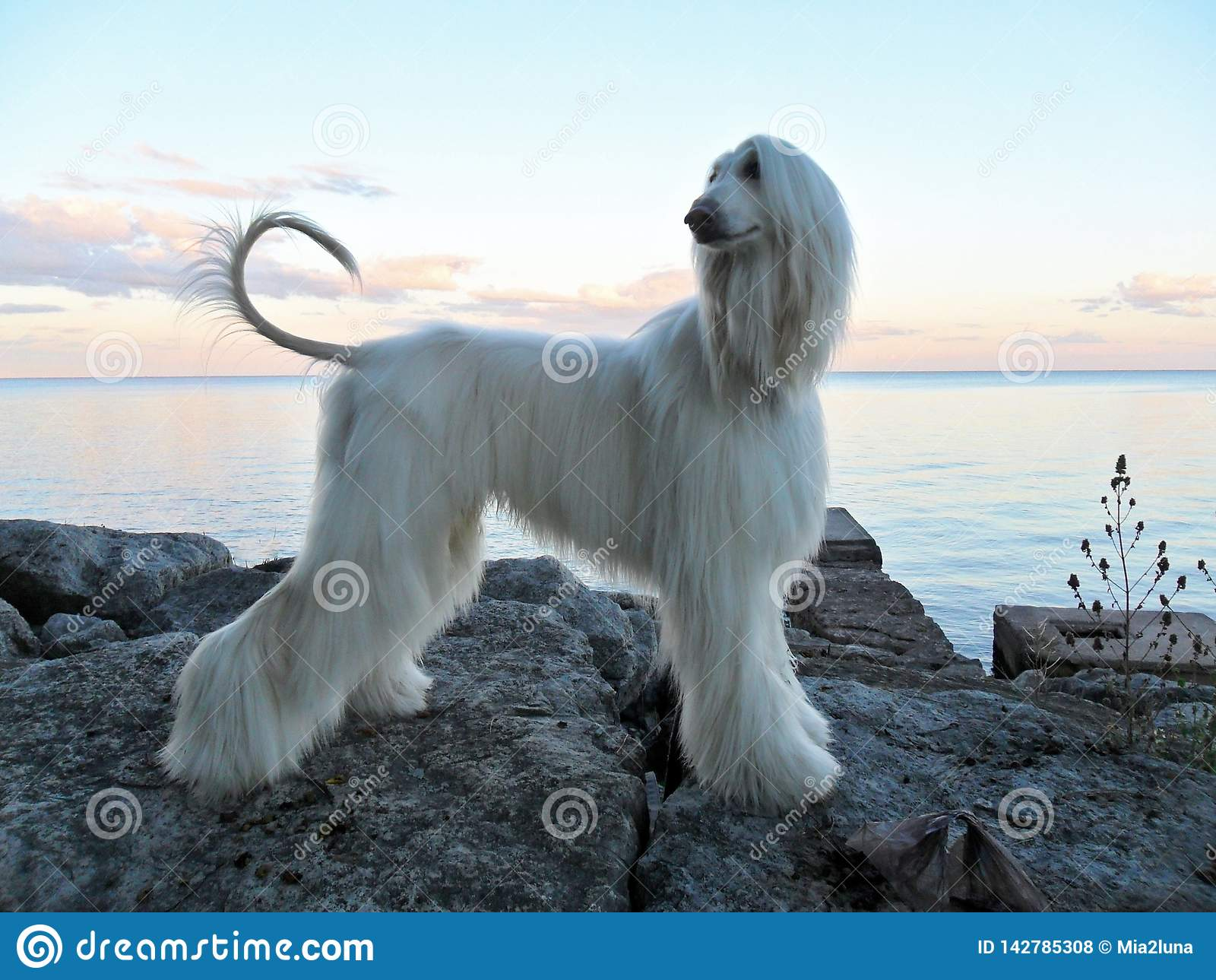 在外形的注视猎犬小狗在冰砾湖边